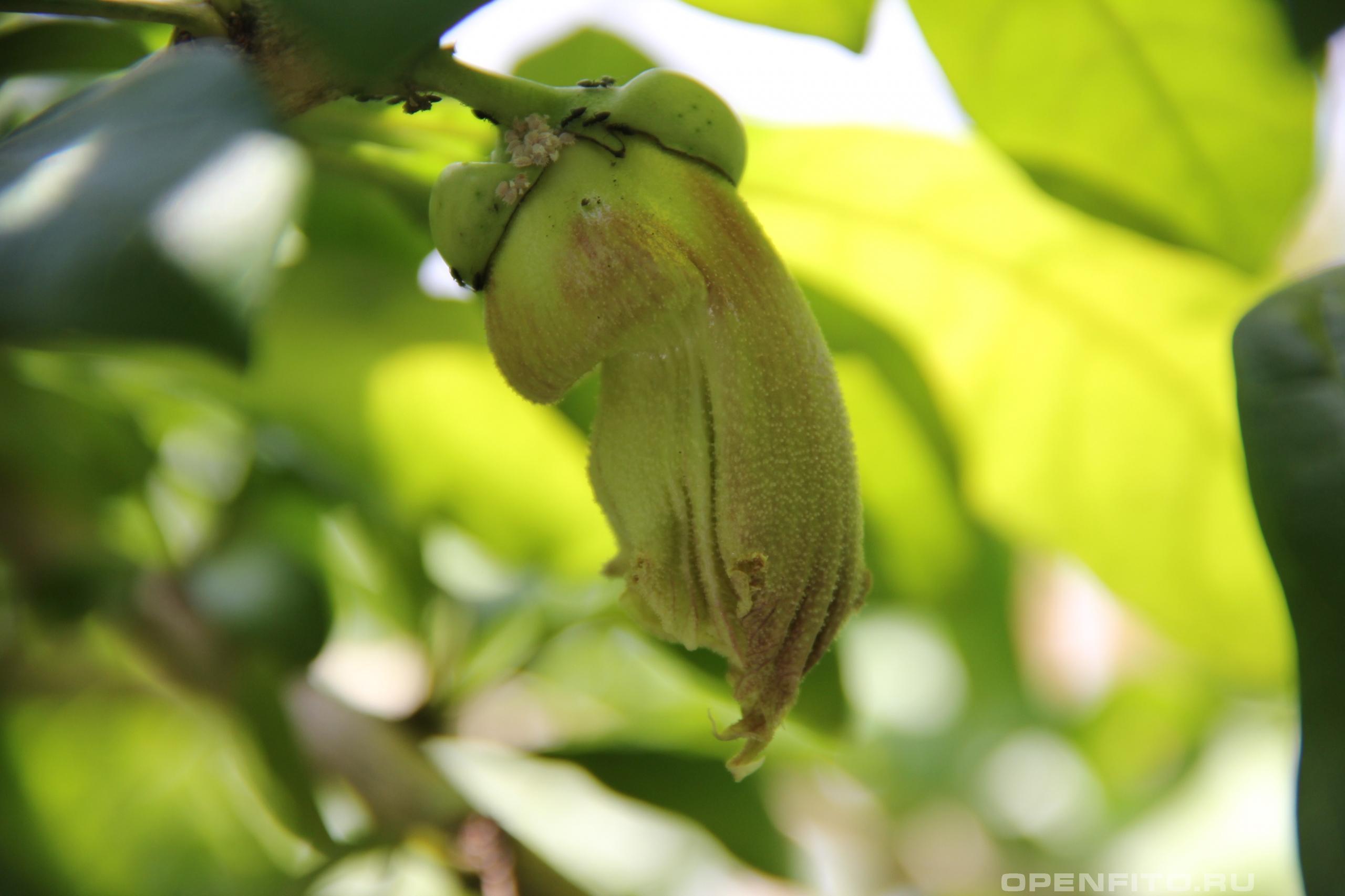 Кресцентия крылатая цветок располагается прямо на стволе колебасового дерева