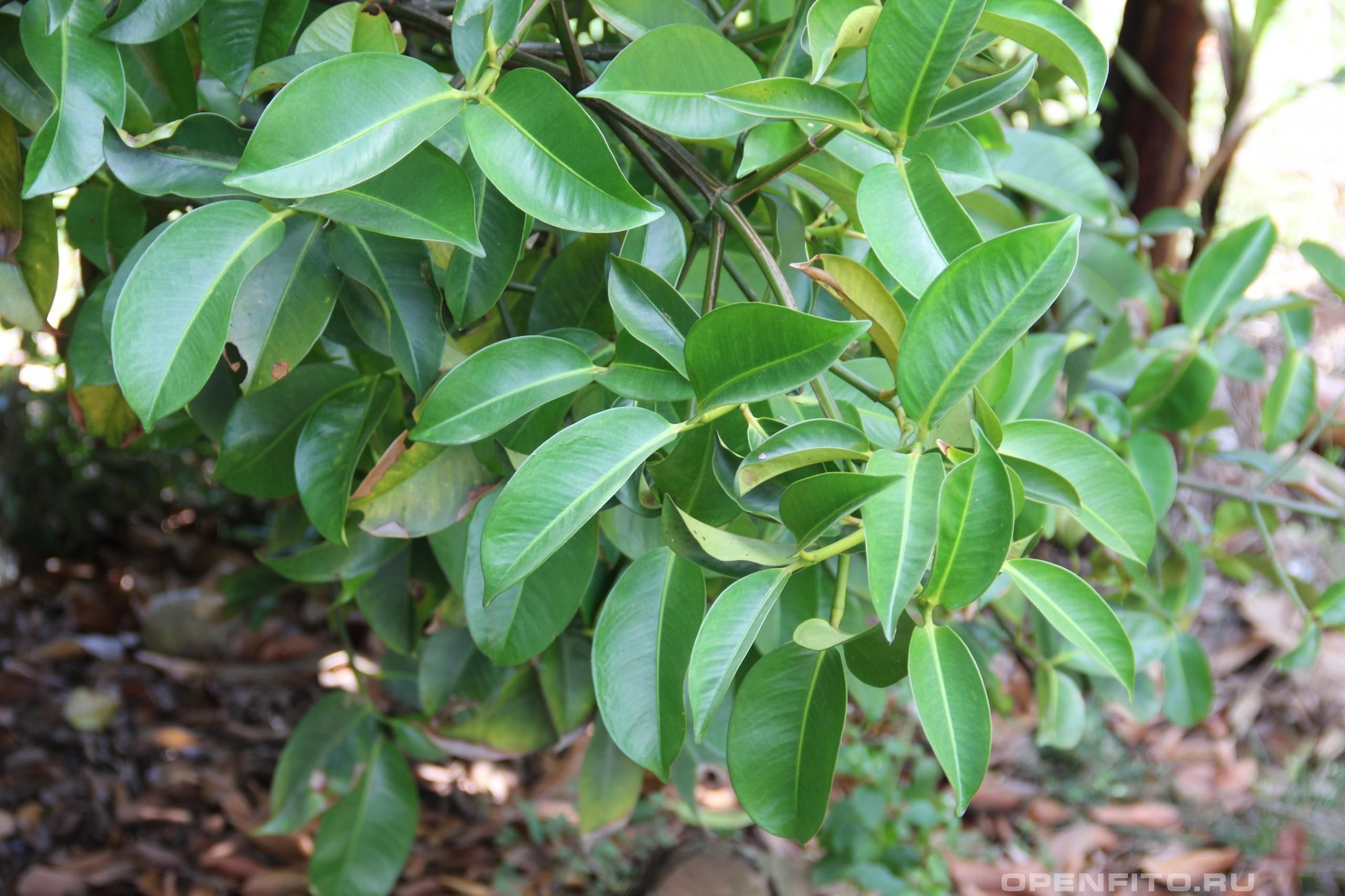 Цитрус Грейпфрут листья дерева