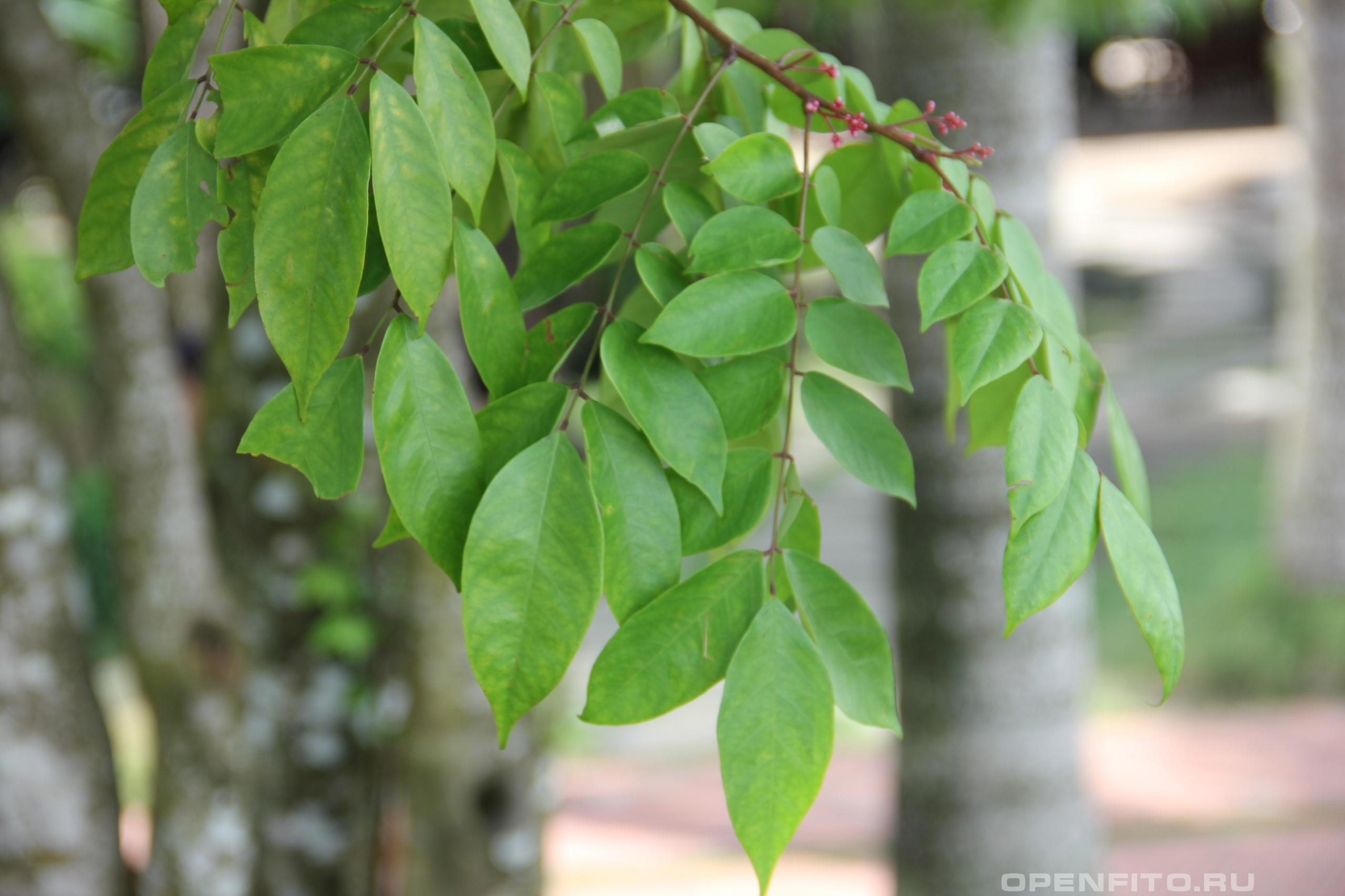 Аверойя карамбола листья