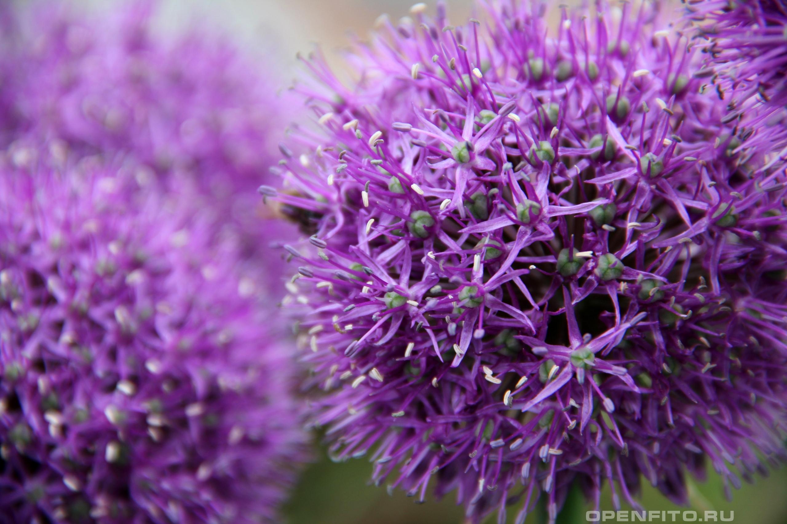 Лук афлатунский большие соцветия лука