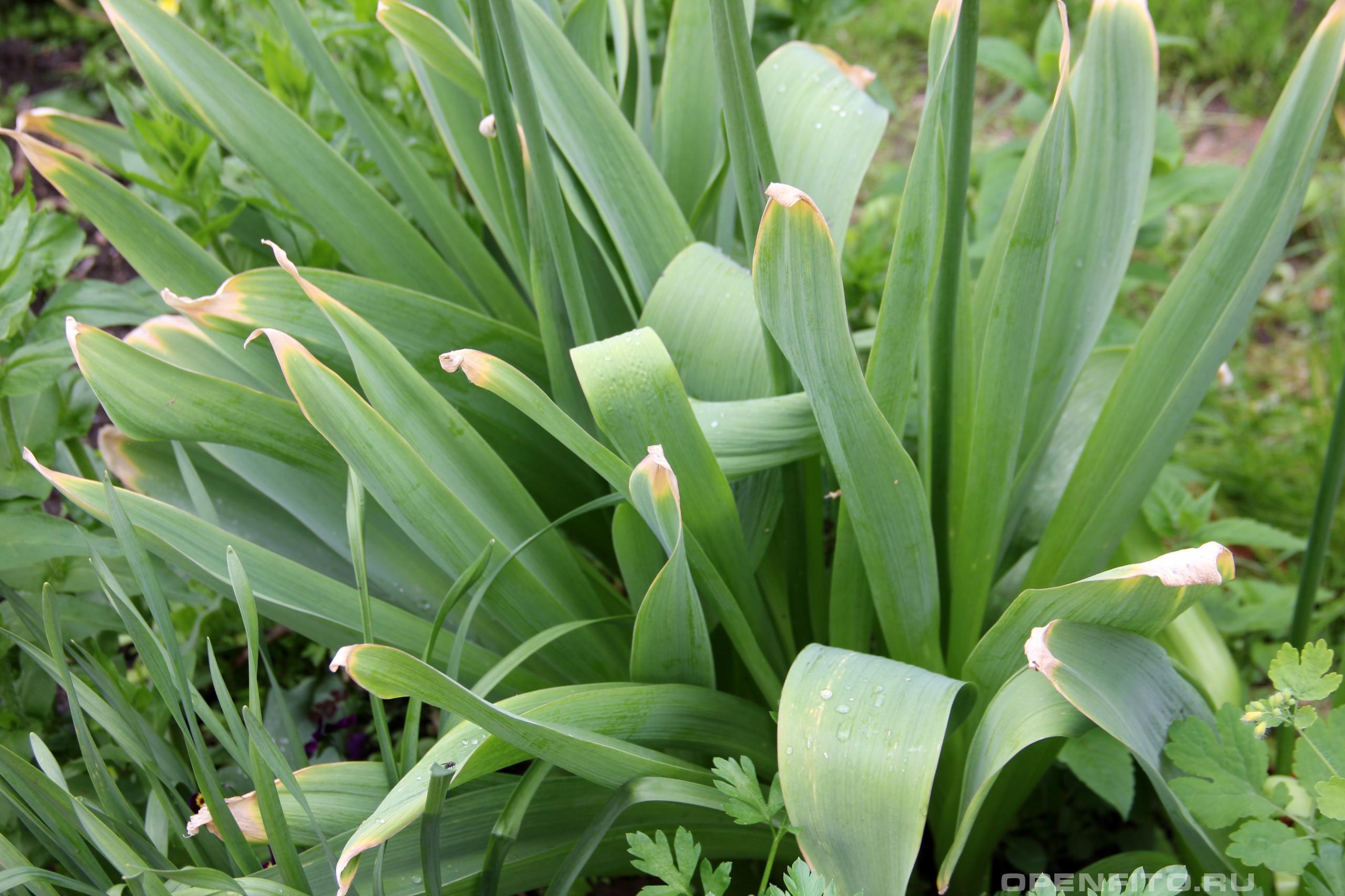 Лук афлатунский декоративное растение