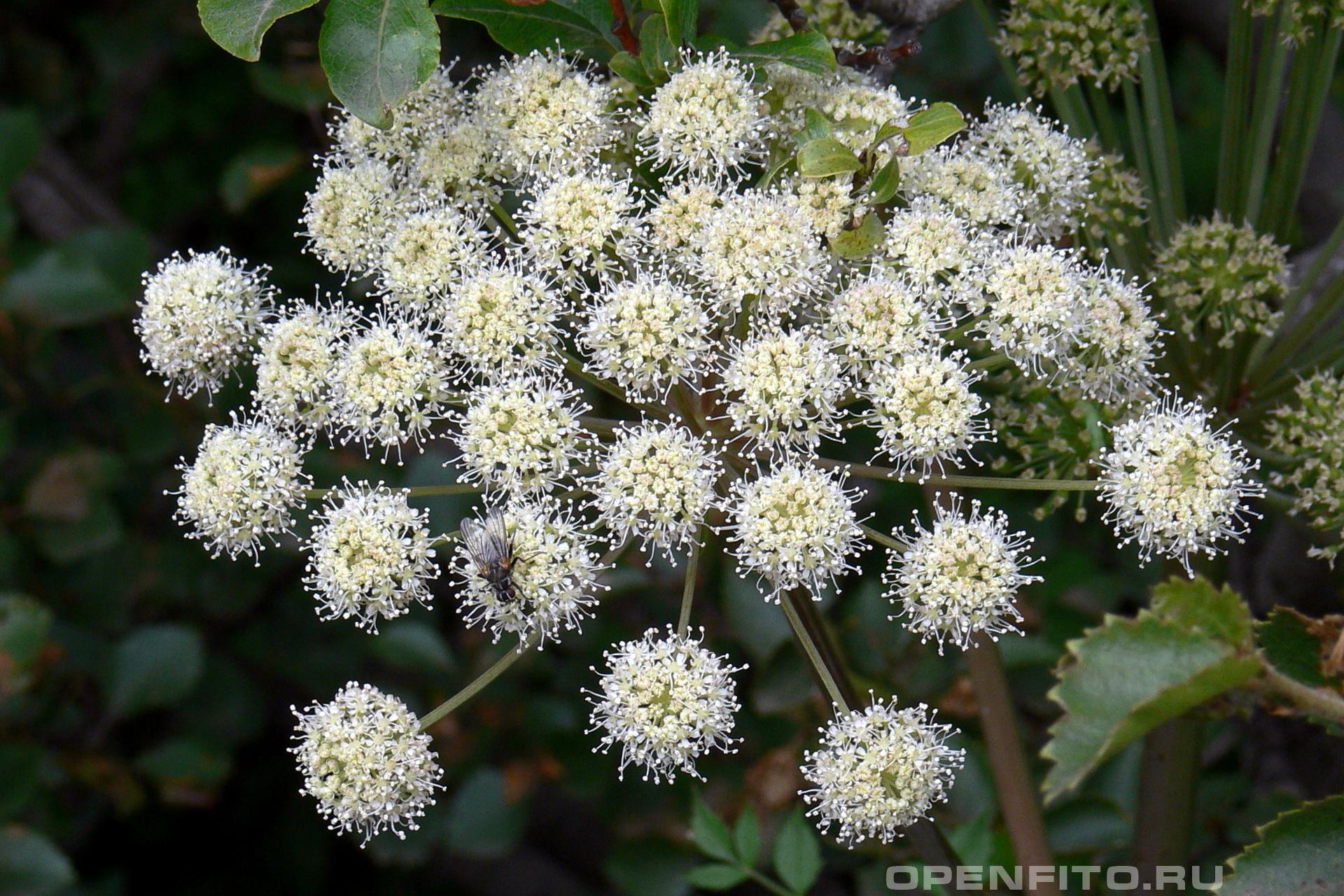 Дудник лекарственный зонтичное соцветие лекарственного растения