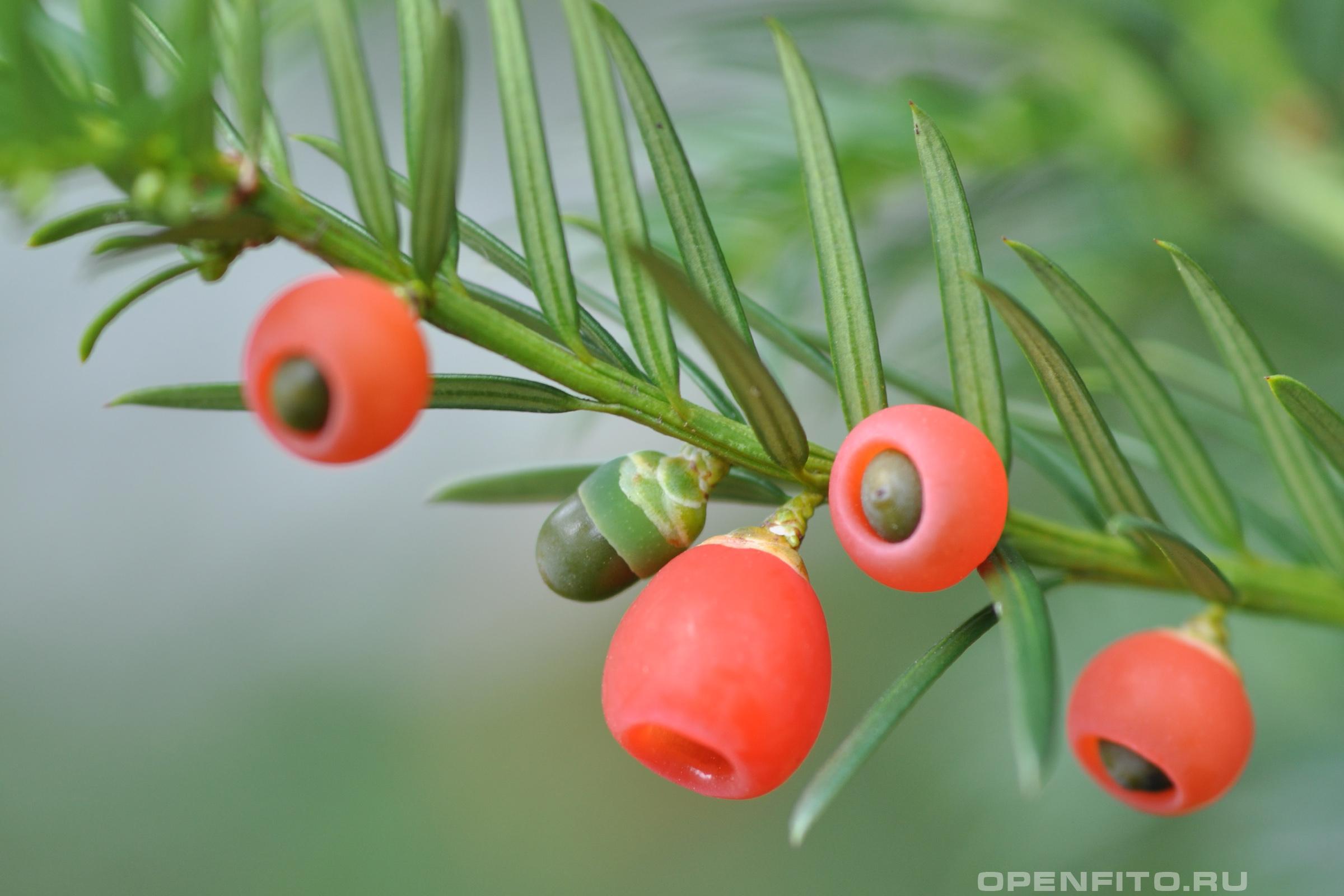 Тис обыкновенный плоды - единственная нетоксичная часть растения