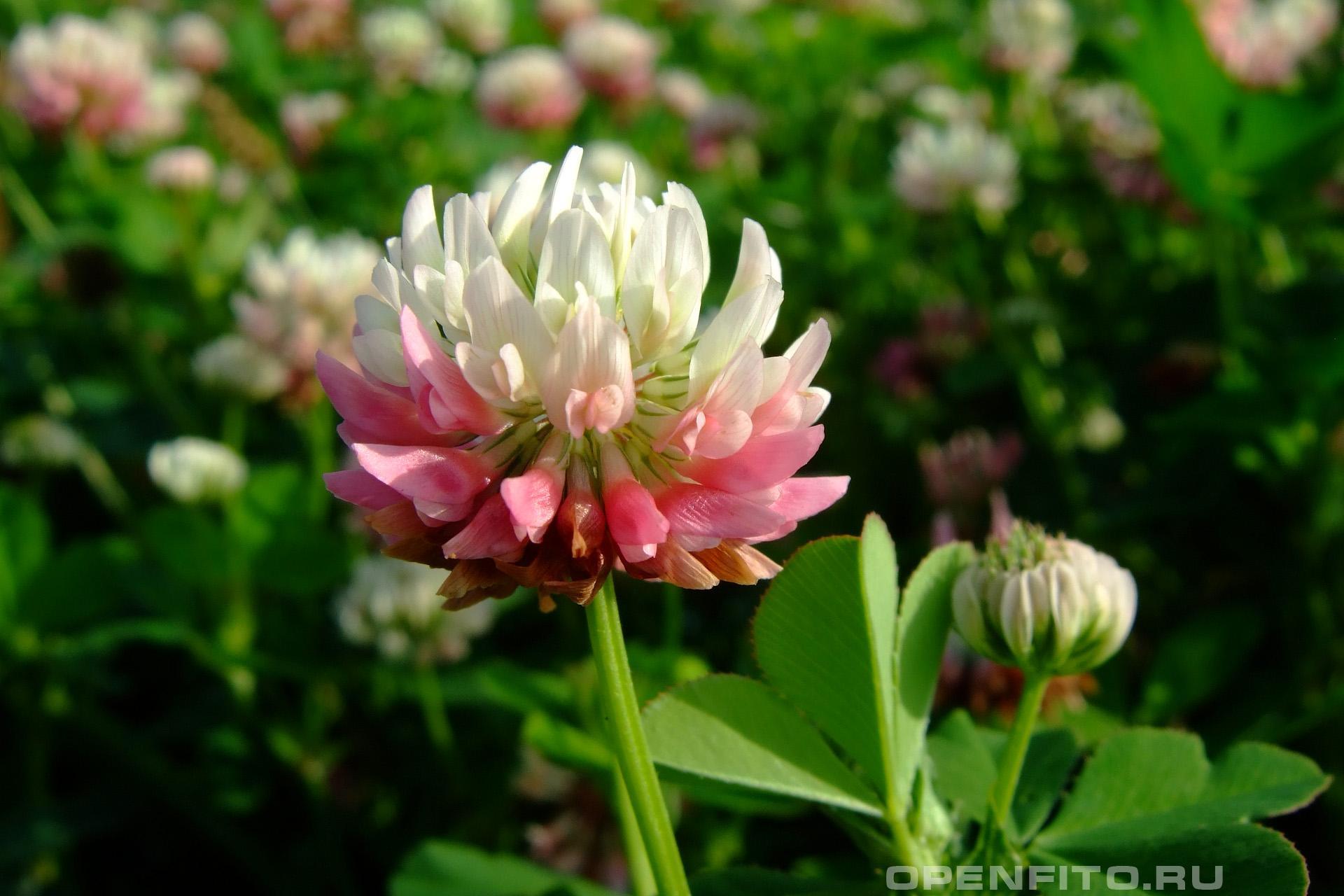 Клевер гибридный или клевер розовый