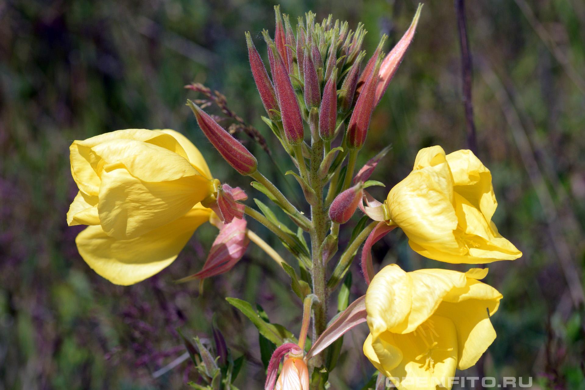 Энотера красночашечная бутоны и цветки растения