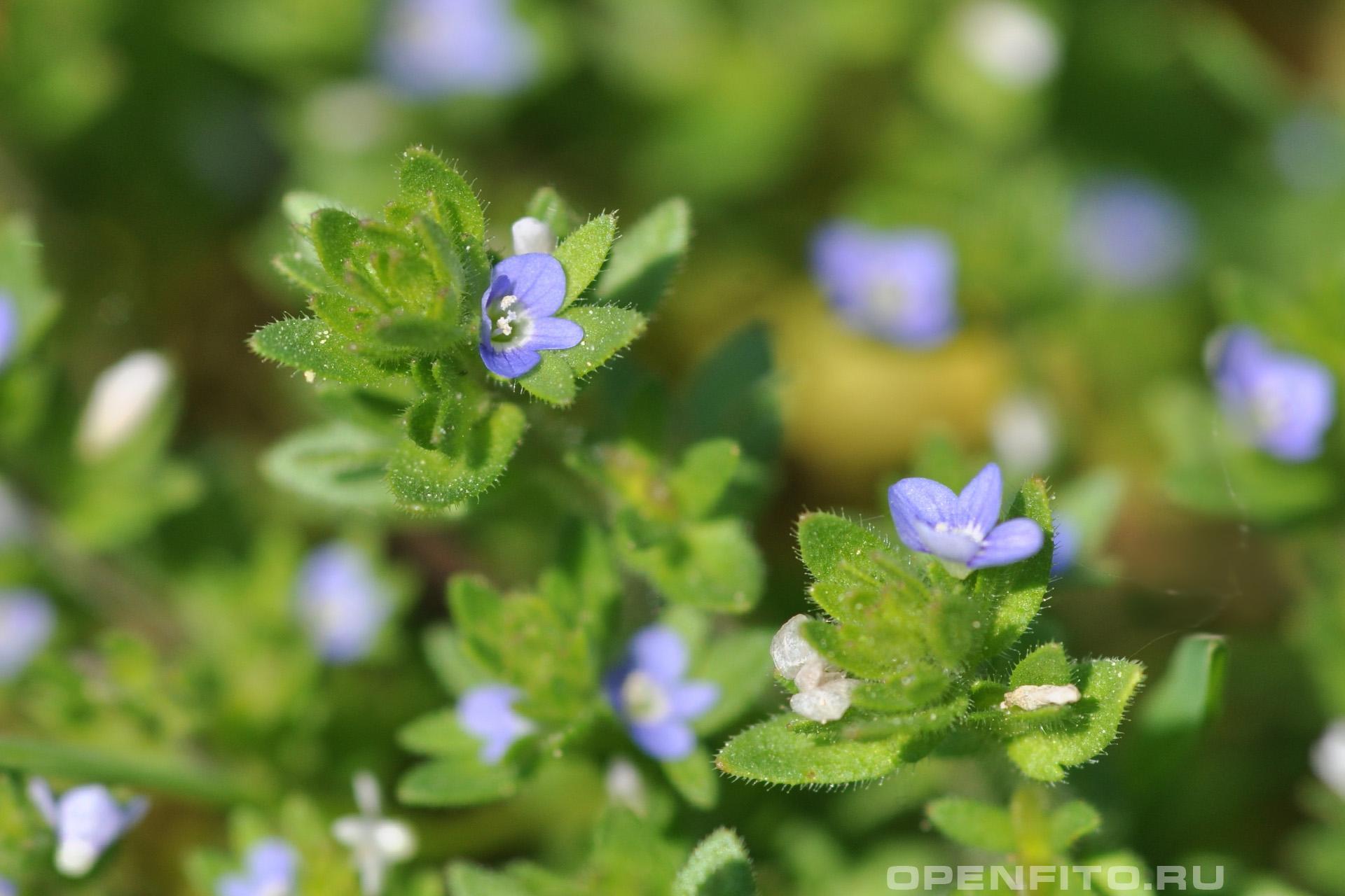 Вероника плющелистная маленькие цветки и листья травы