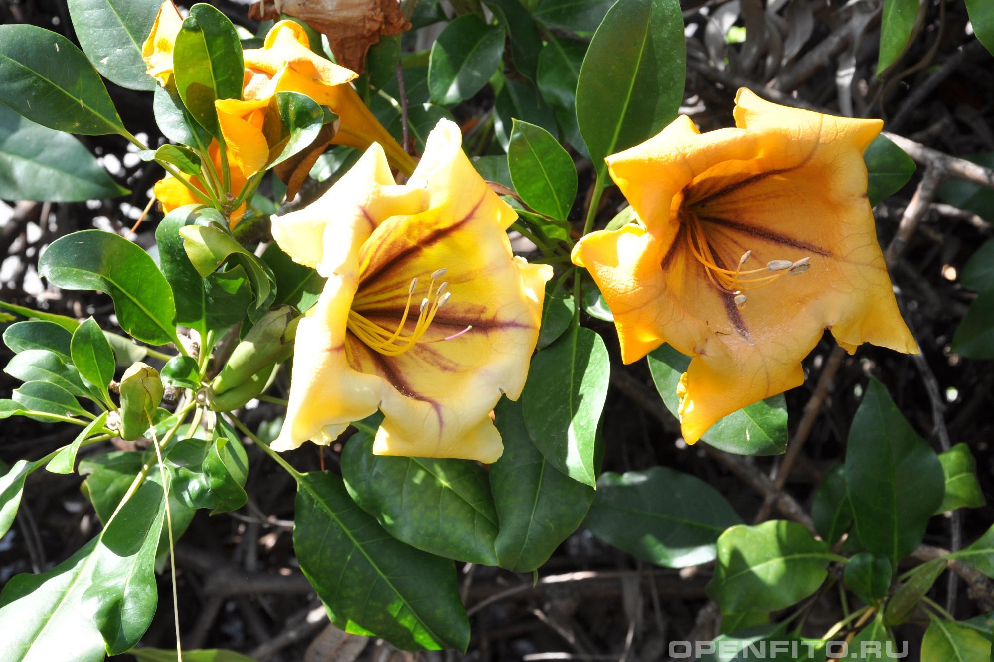 Соландра крупнейшая Европейское садовое растение