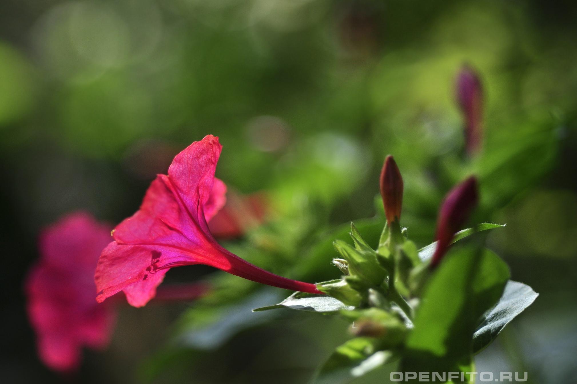 Мирабилис ялап используется как слабительное