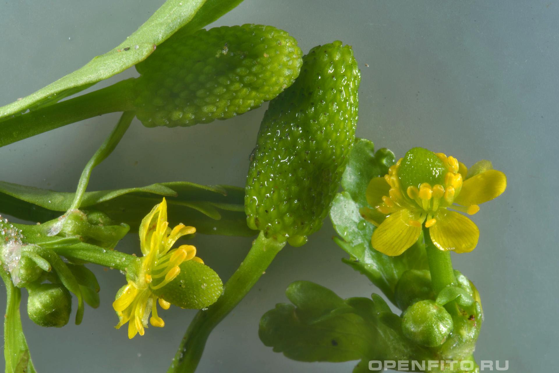 Лютик ядовитый болотный лютик - фото цветков и незрелых плодов