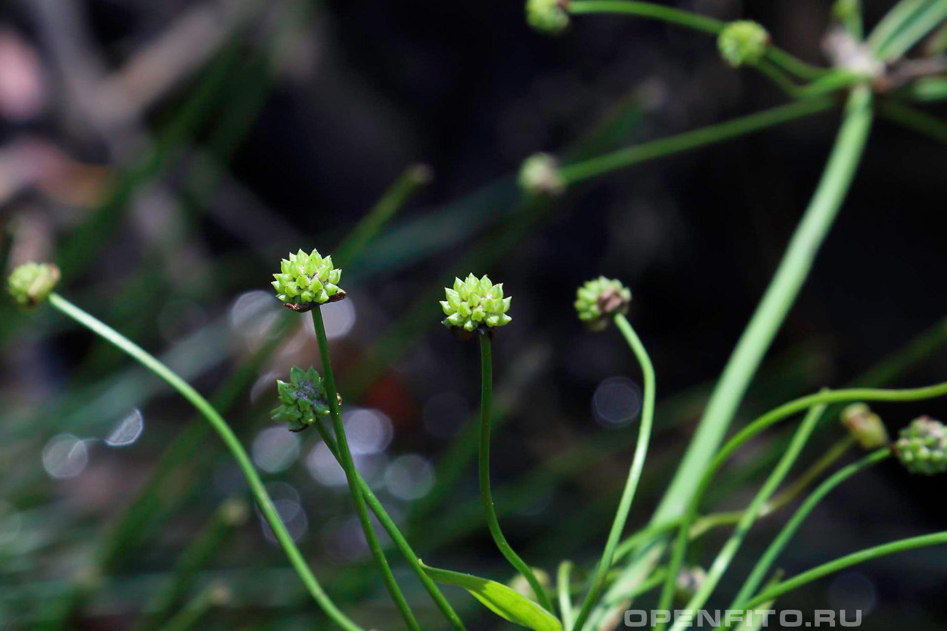 Бальделлия лютиковидная незрелые плоды-многоорешки