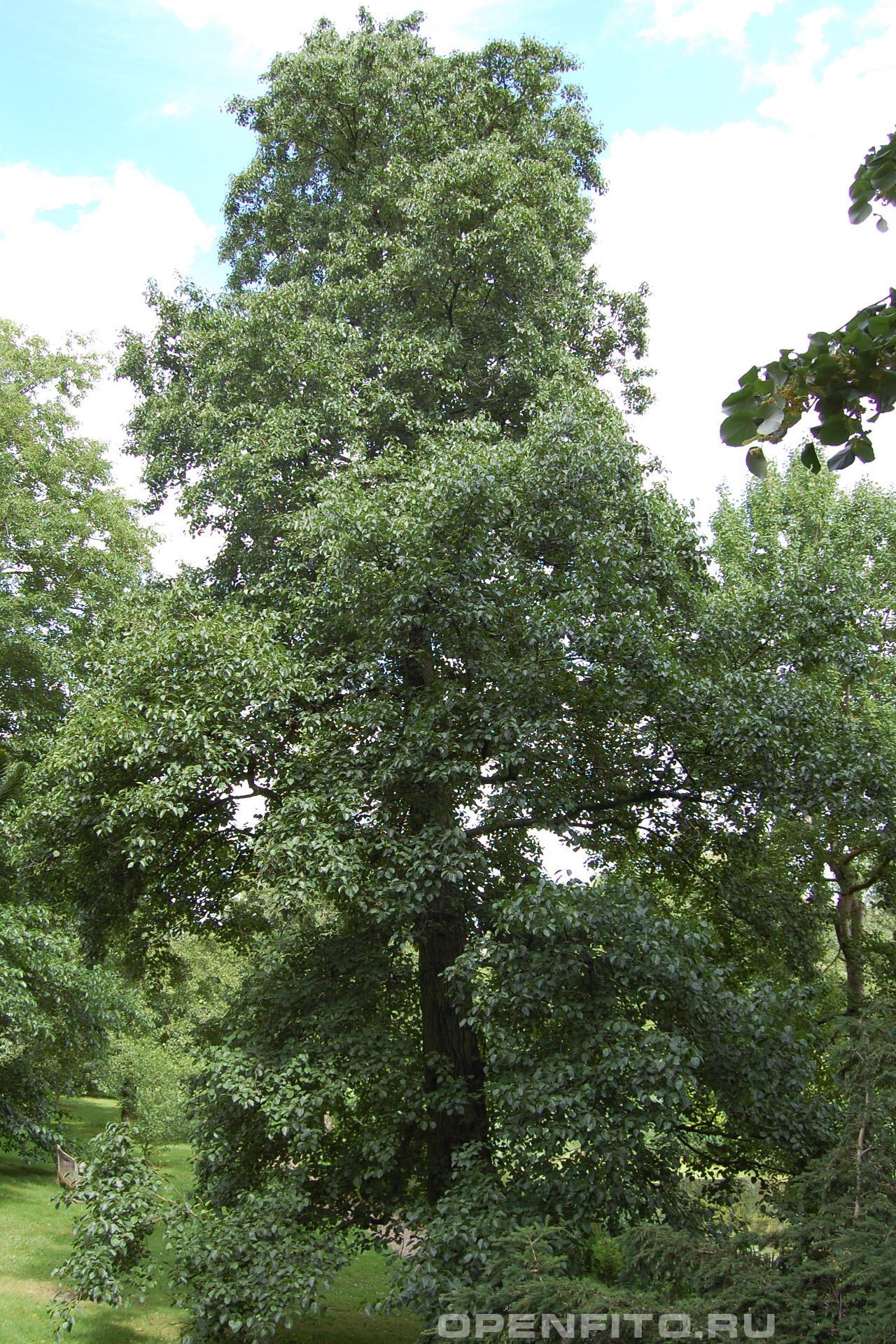 Ольха сердцевидная взрослое дерево