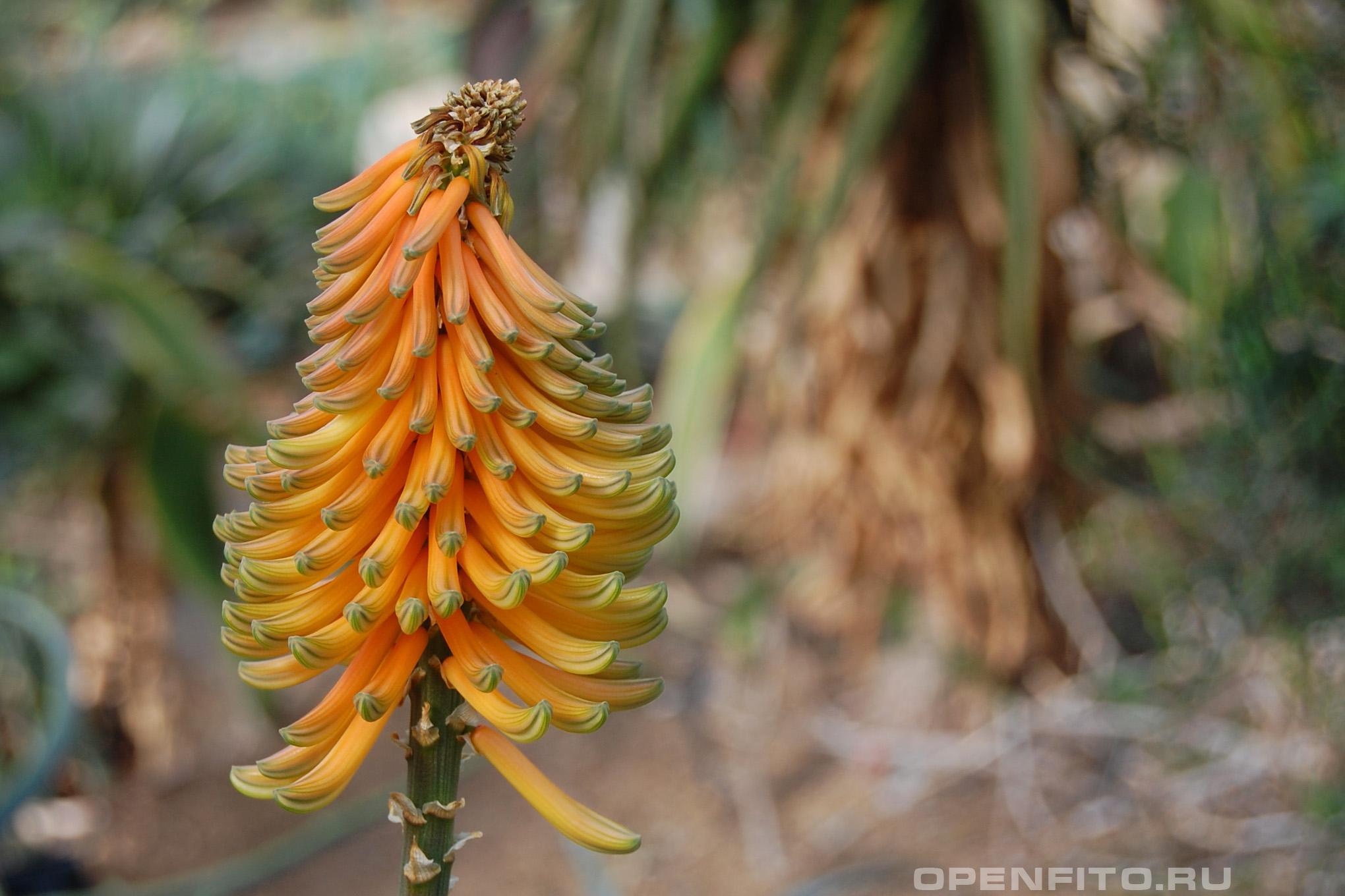 Алоэ африканское цветок алоэ крупным планом