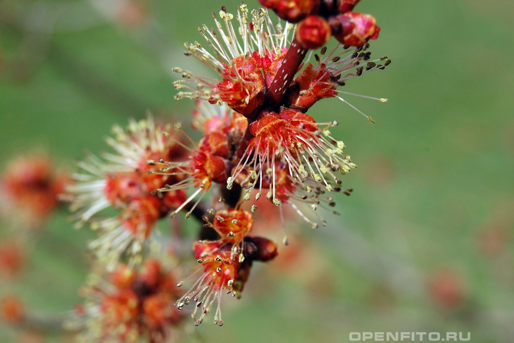 Клен красный цветки крупным планом
