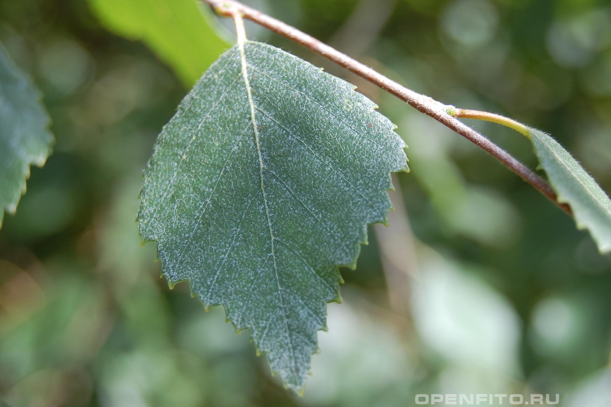 Береза пушистая взрослый лист, в России этот вид так же называют береза белая