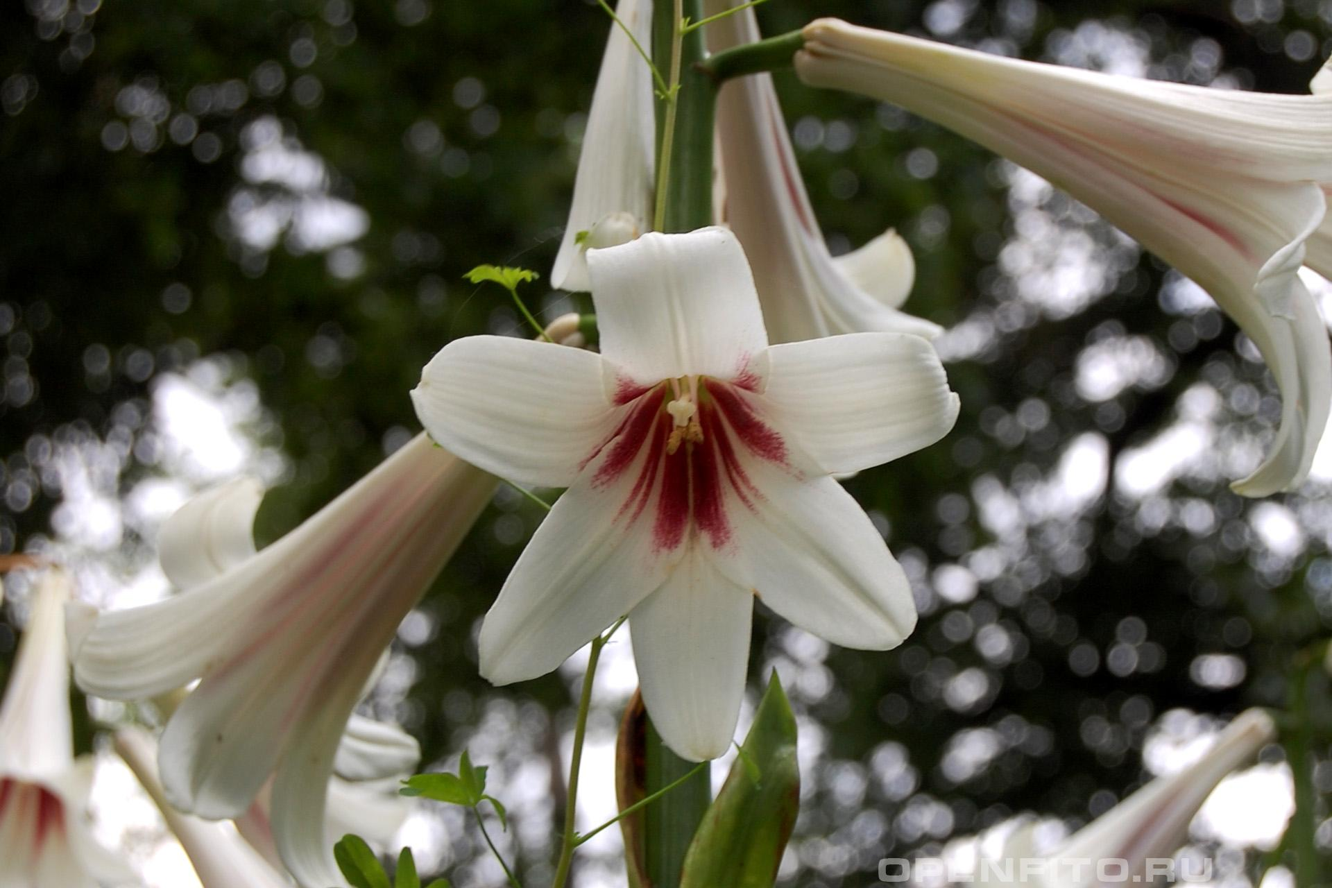 Лилия гиганская или кардиокринум гигантский