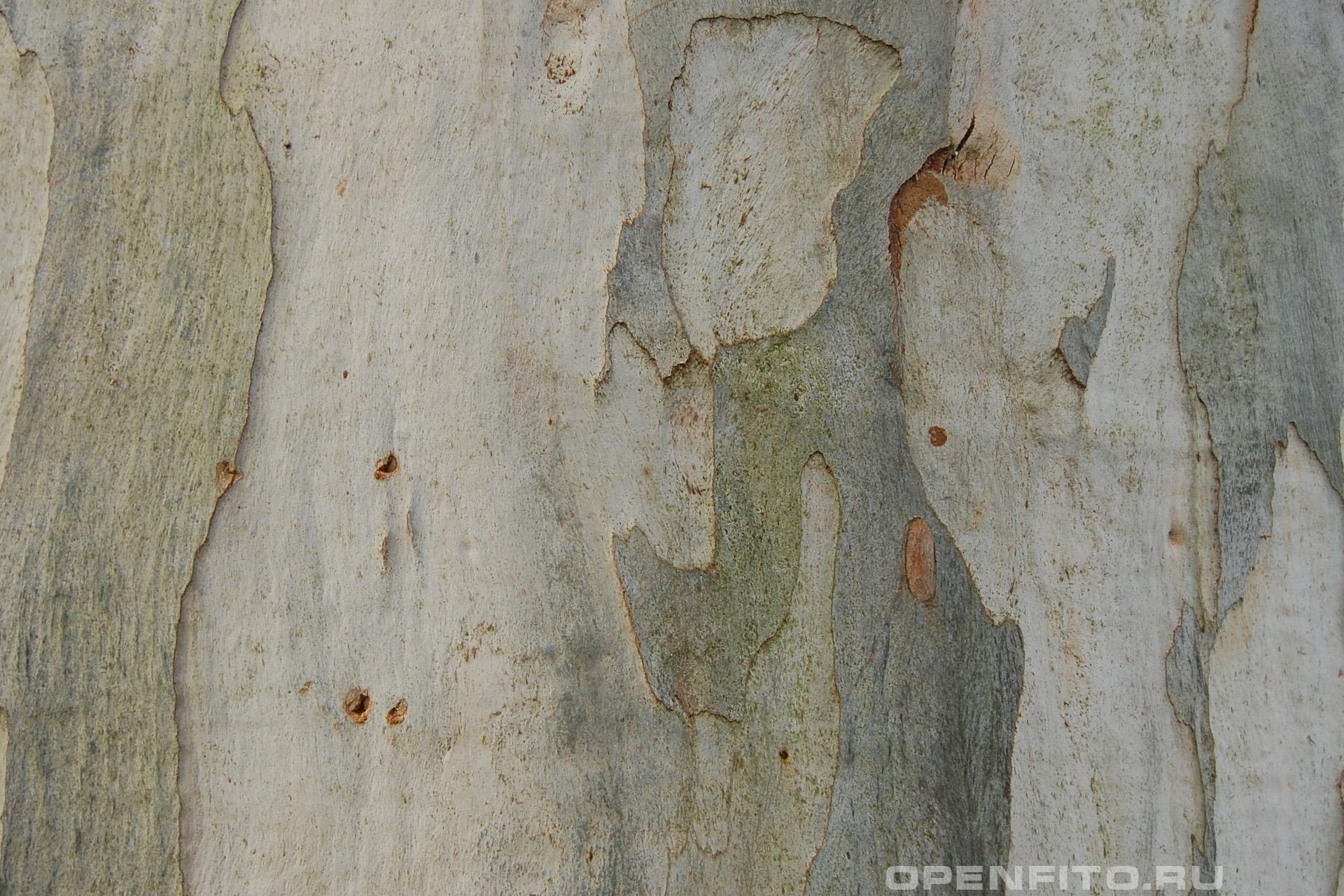 Эвкалипт прутовидный кора дерева