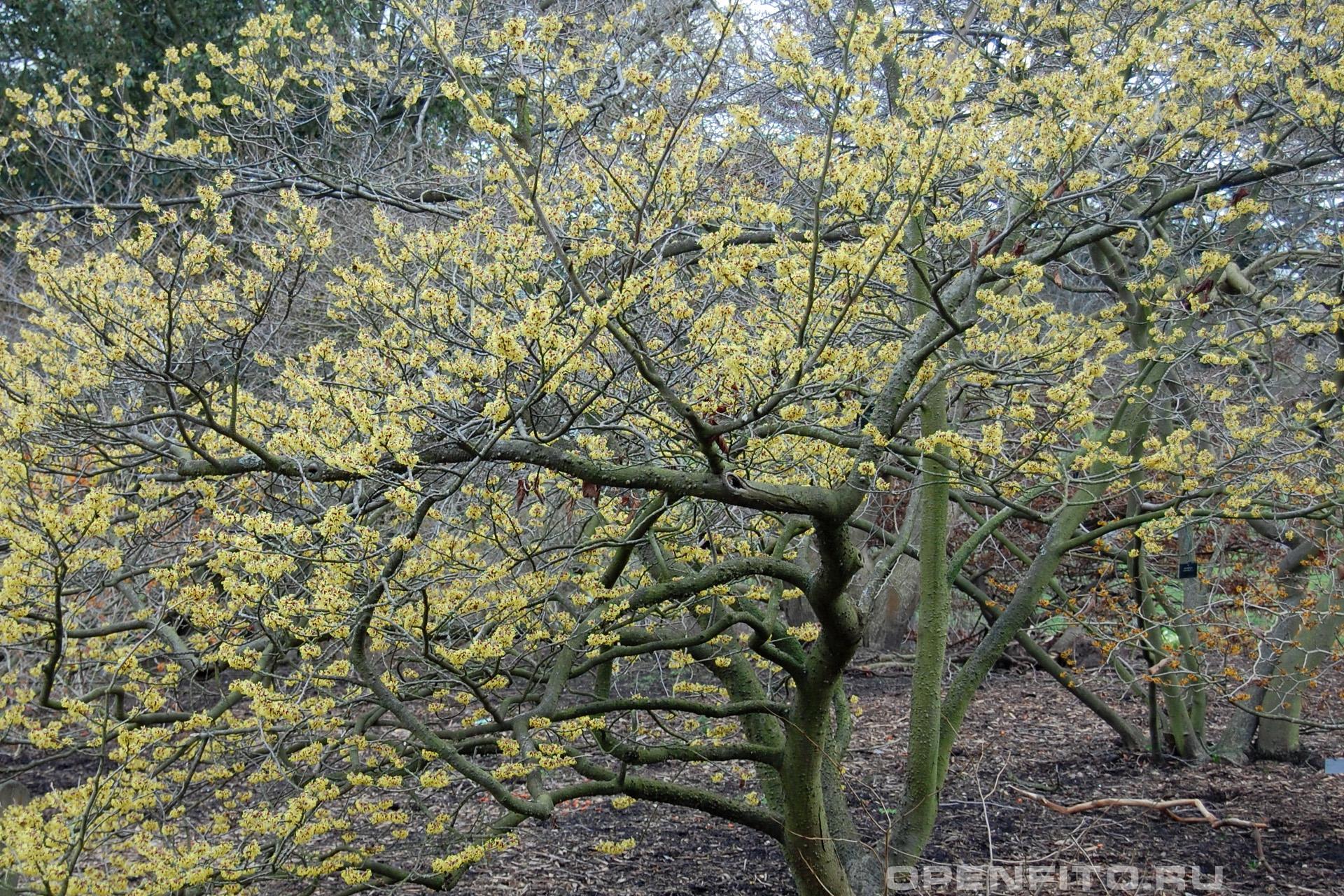 Гамамелис средний цветущее дерево ранней весной
