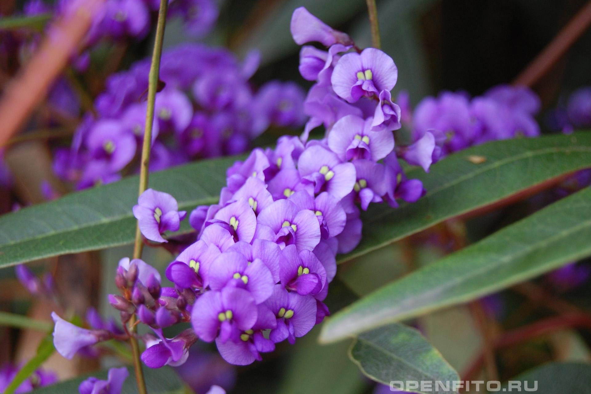 Гарденбергия фиолетовая