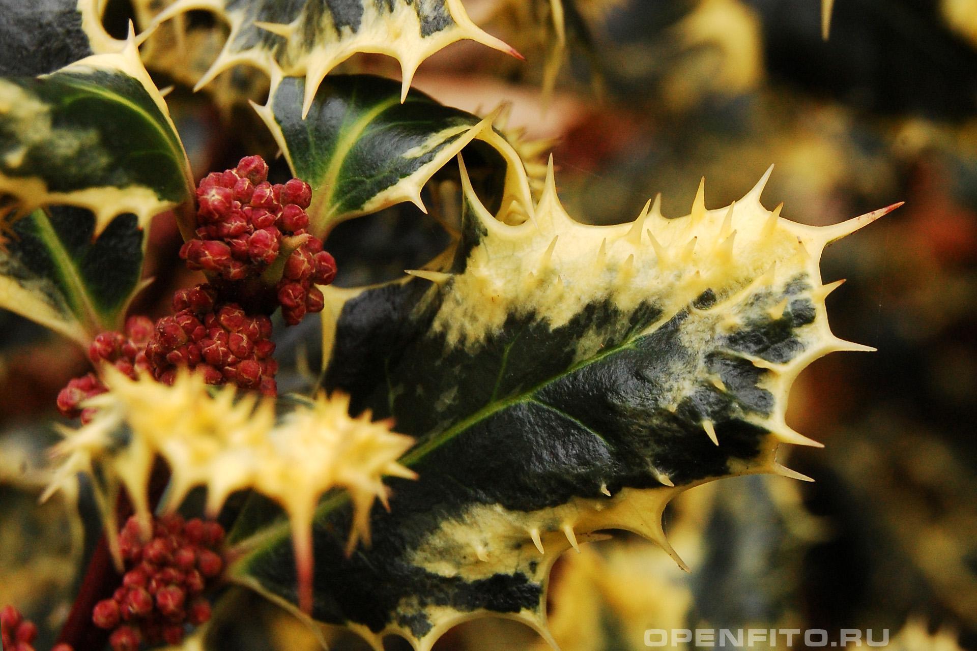 Падуб остролистный сорт ferox argentea (лист и бутоны)