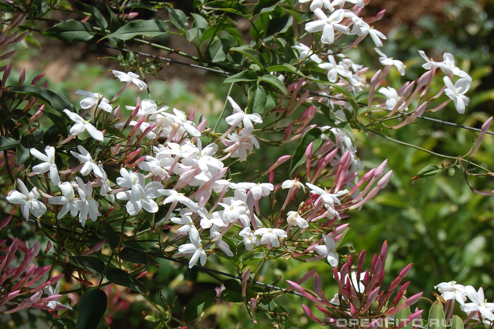 Жасмин многоцветковый Jasminum polyanthum