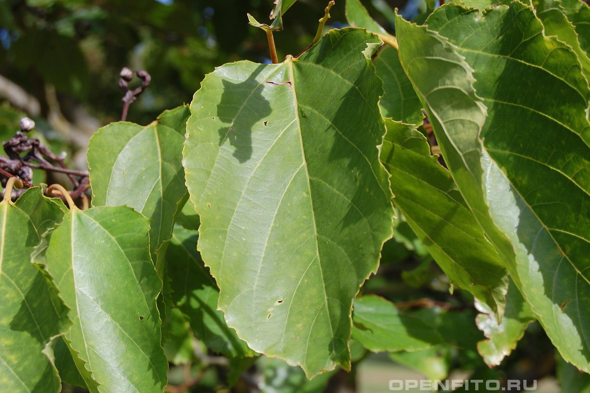 Говения сладкая листья дерева
