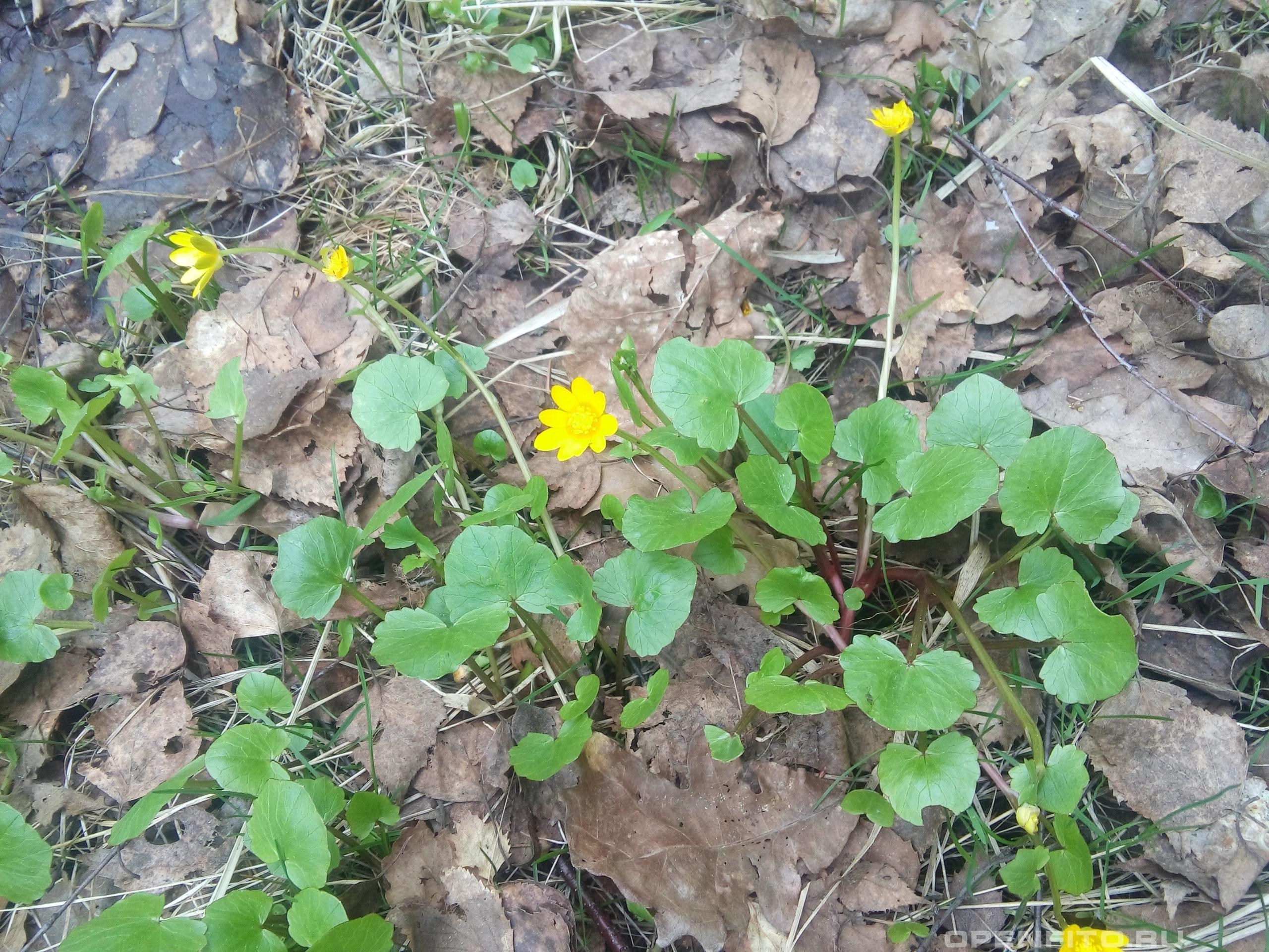 Чистяк весенний один из самых ранних лесных цветков