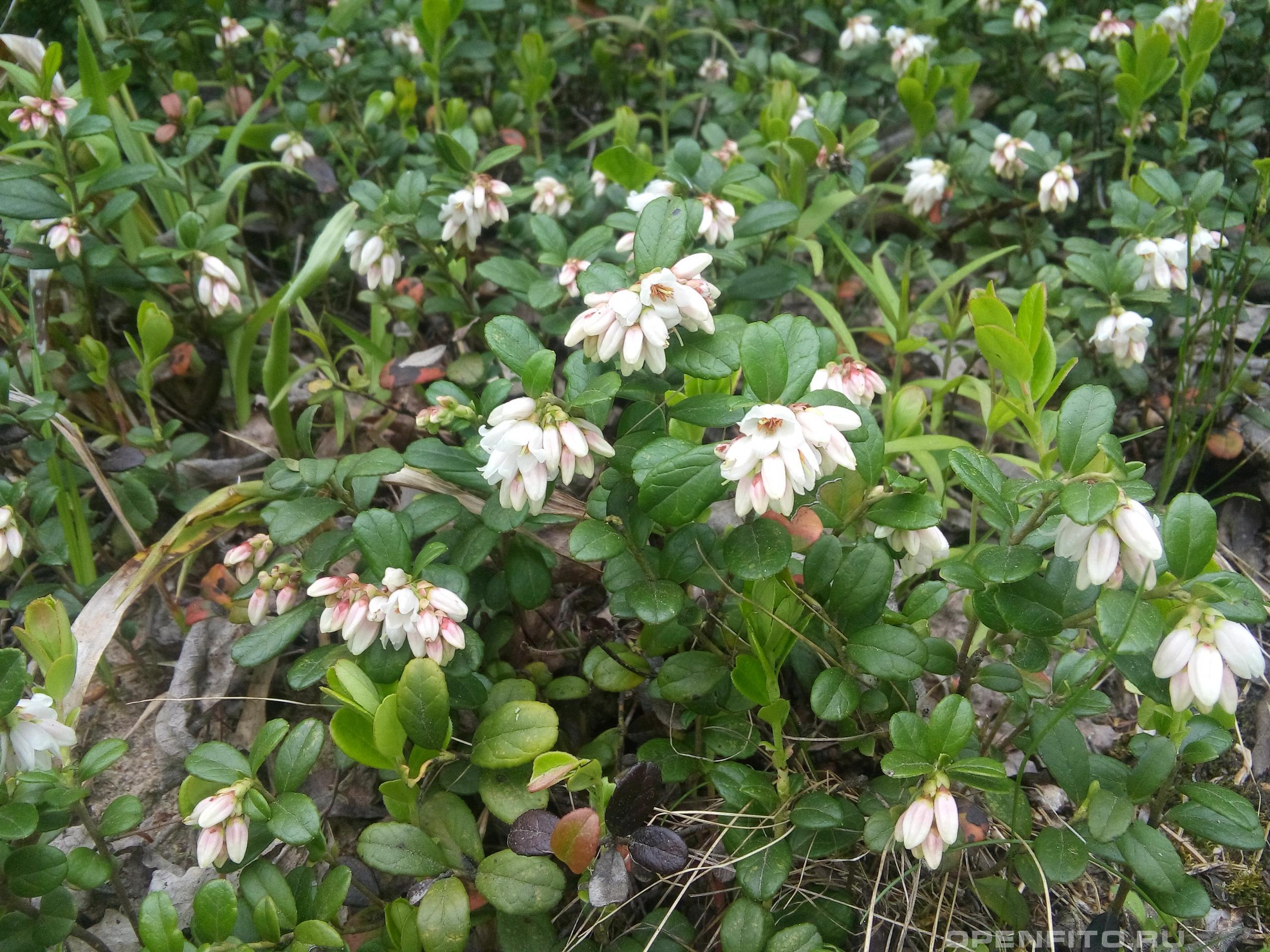Брусника обыкновенная цветущее растение