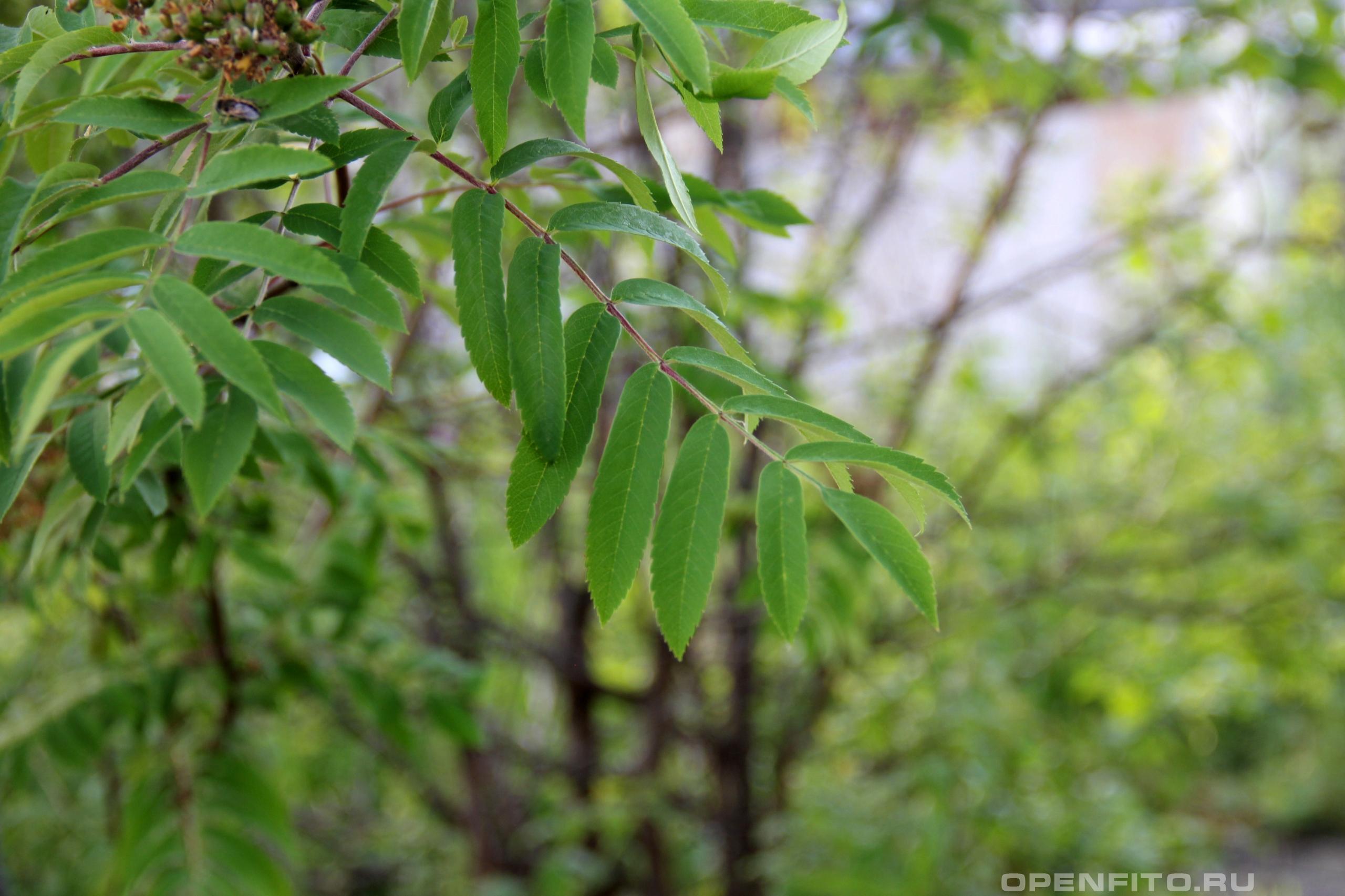 рябина обыкновенная лист, именно листья рябины начала лета можно заваривать в чай