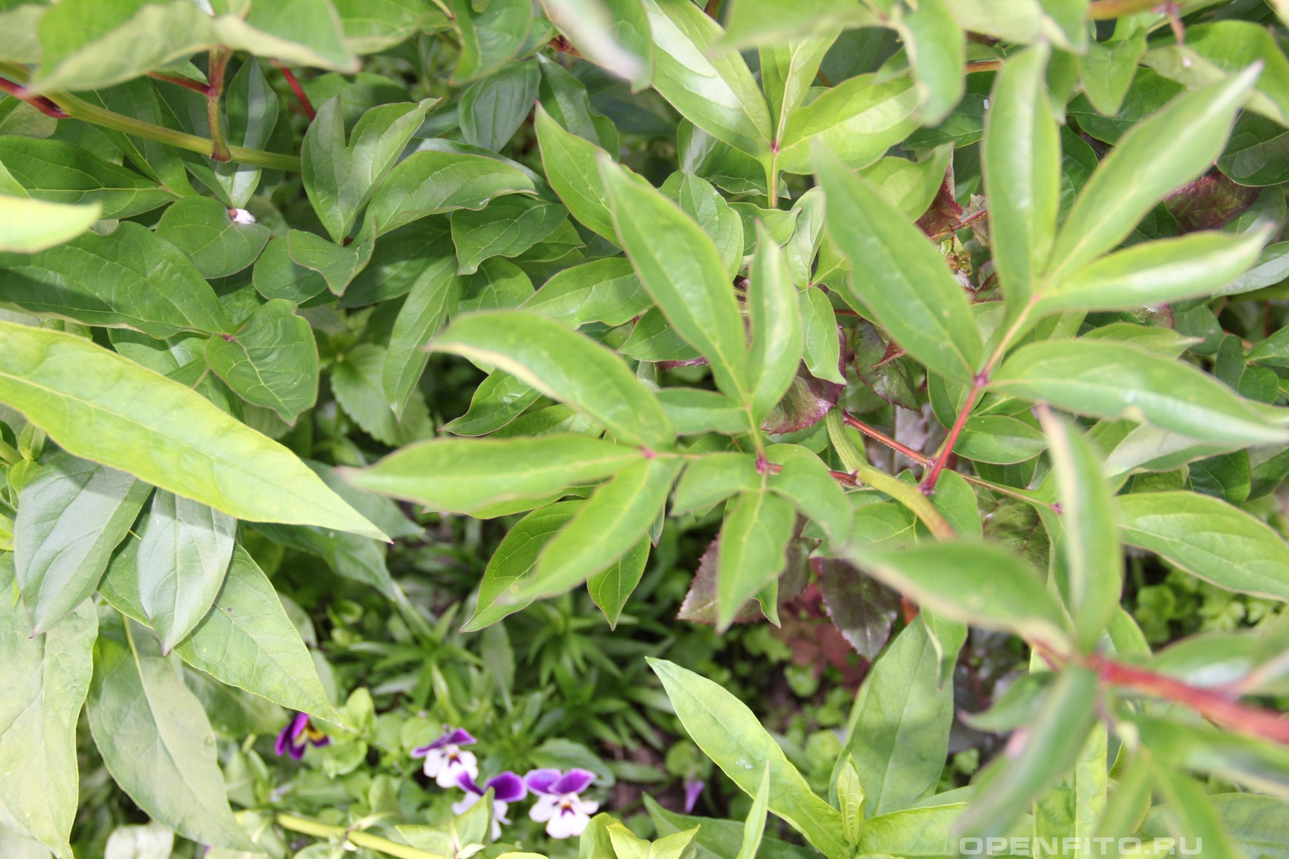 Пион белоцветковый лист