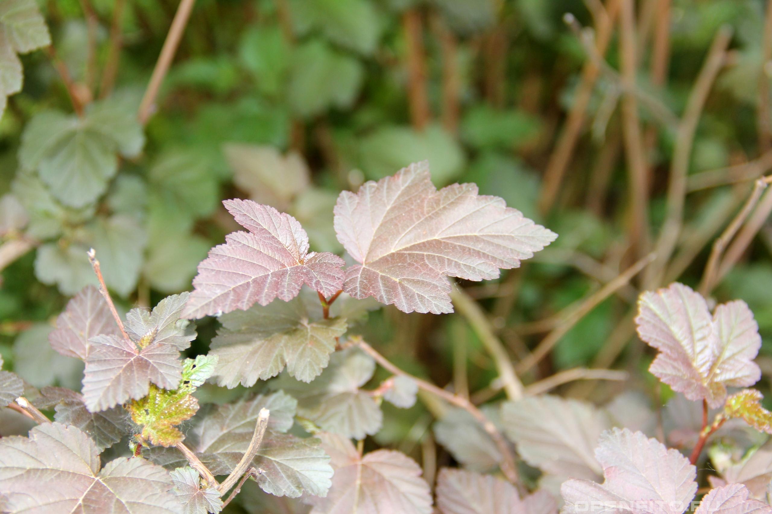 Пузыреплодник калинолистный лист кустарника