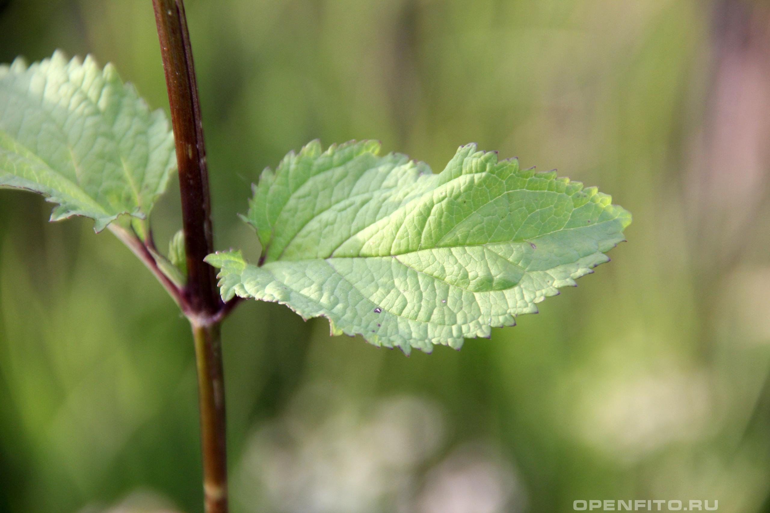 Норичник узловатый или Норичник шишковатый, растение так же называют петров крест