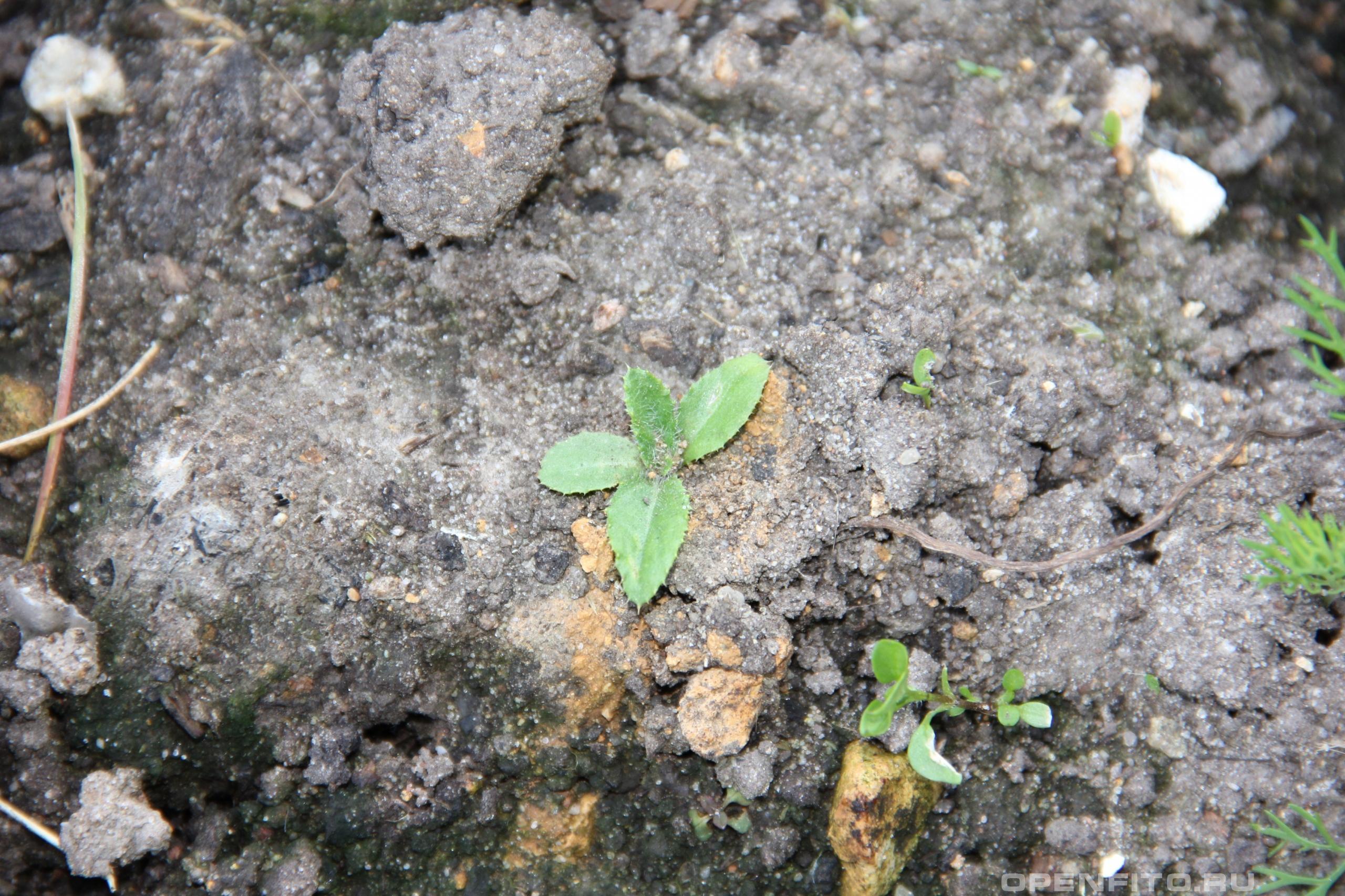 Бодяк щетинистый очень трудноискореняемый сорняк, лучше от него избавляться в таком виде