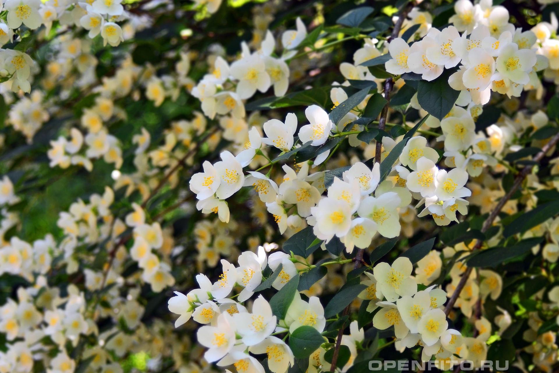 Чубушник венечный очень красивое и ароматное растение
