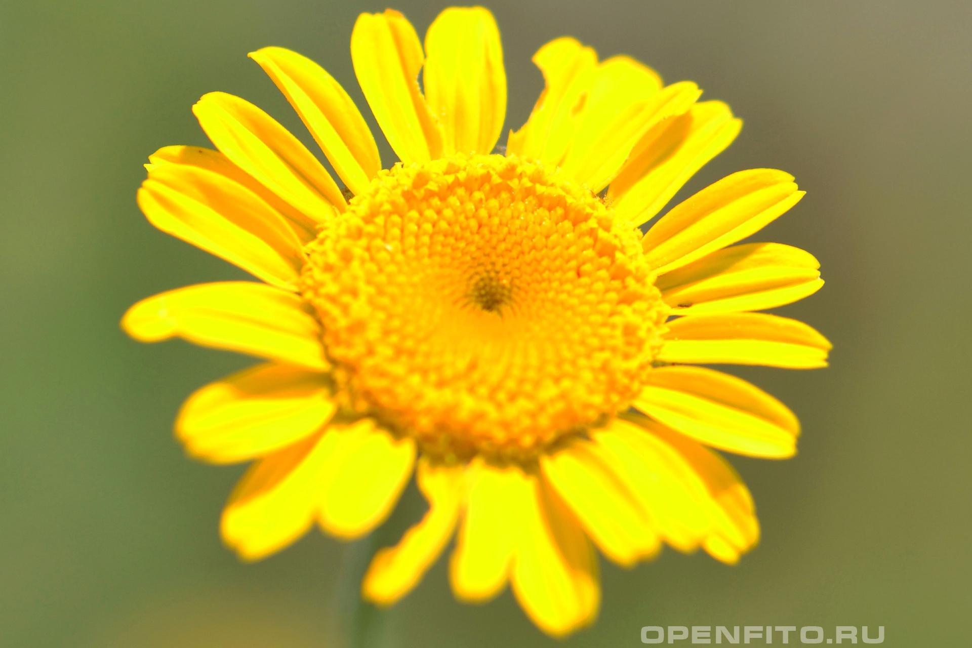 Арника <p>молодой цветок арники горной</p>