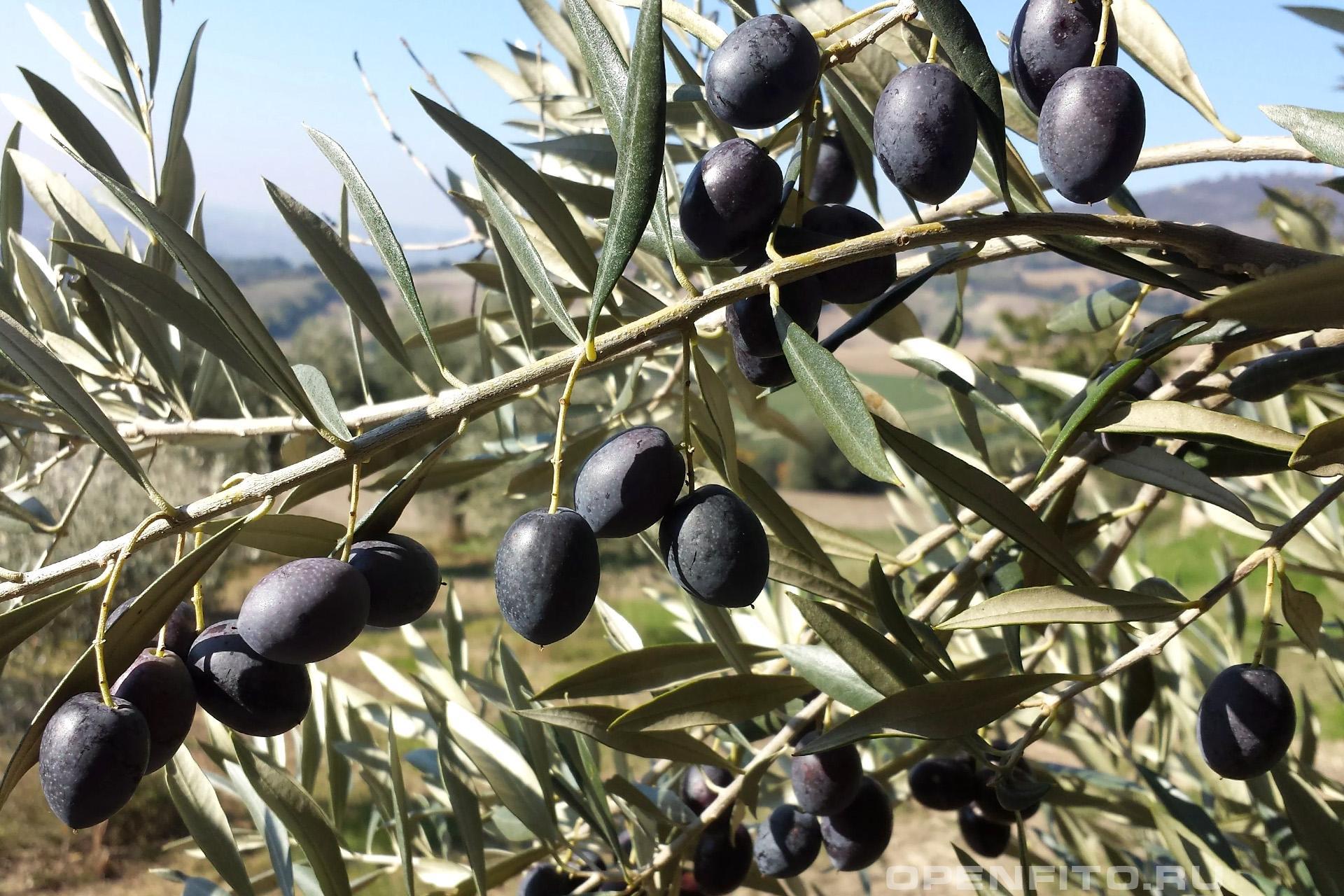 Маслина европейская оливки