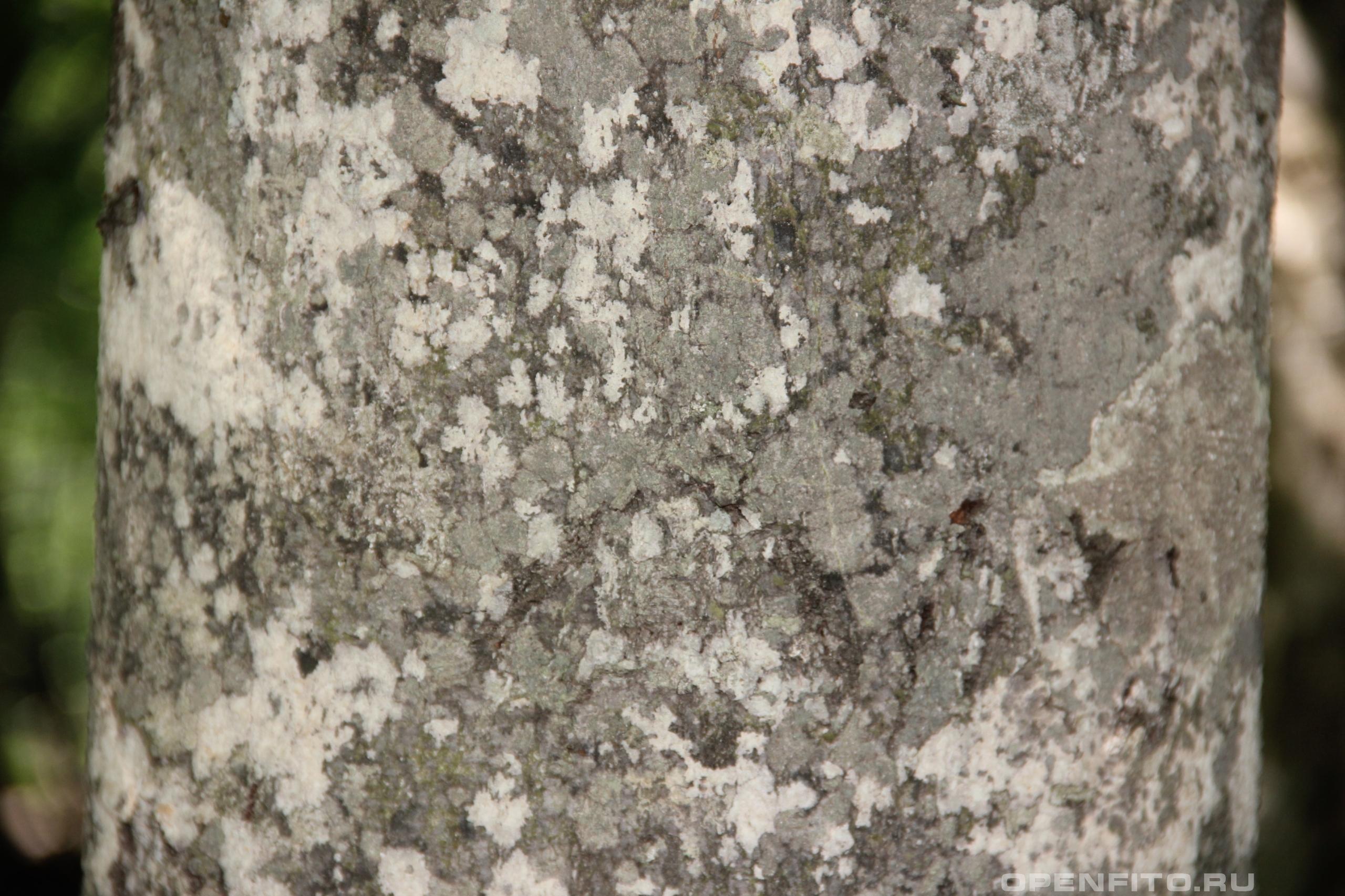 Бук кора дерева, растение живет до 350 лет