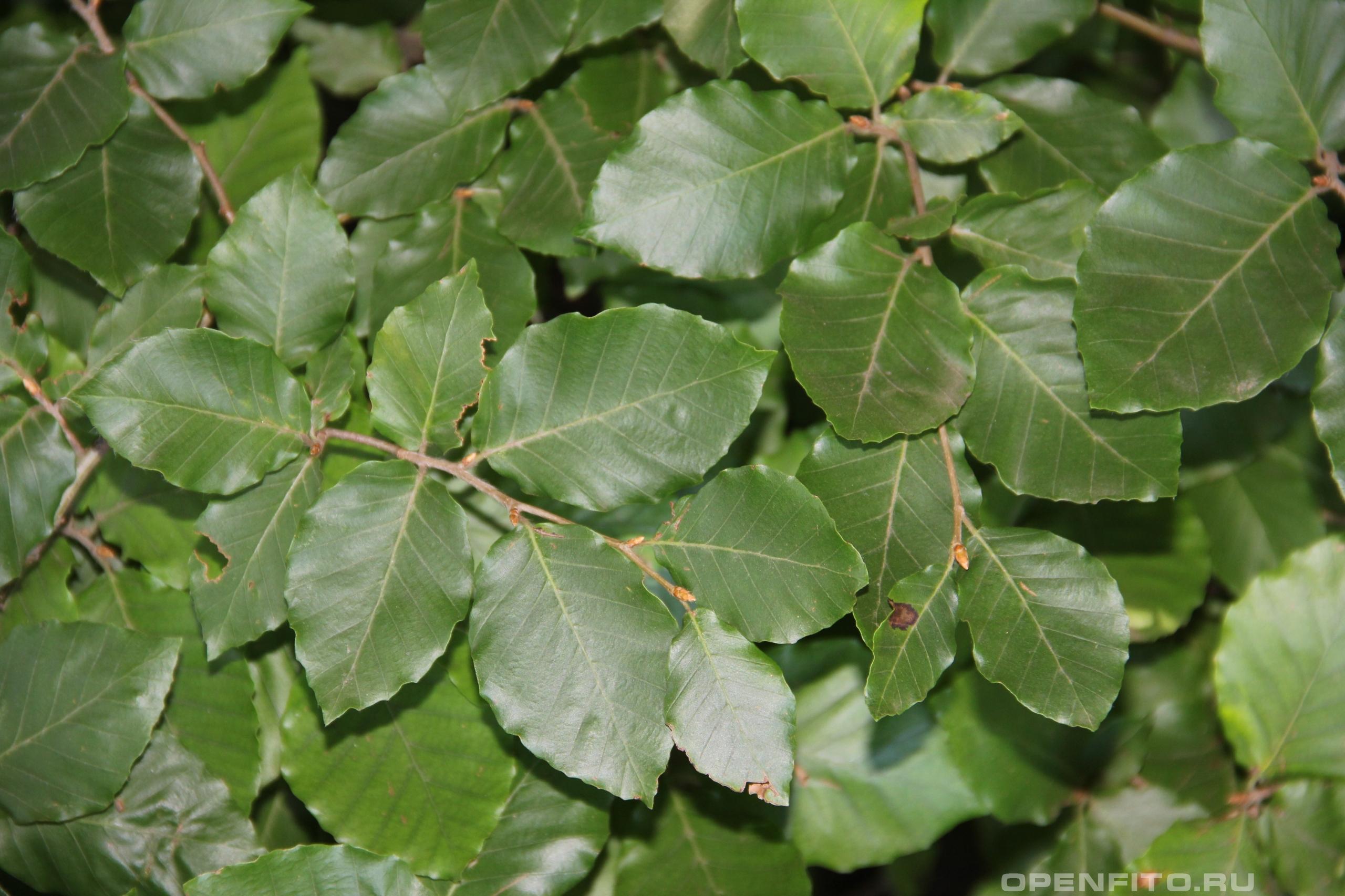 Бук восточный листья