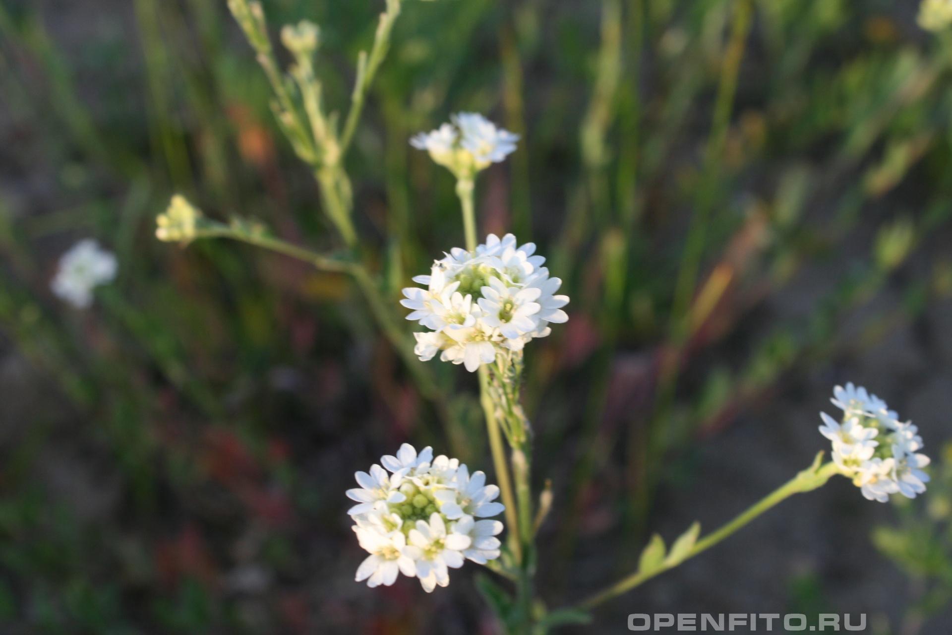 Икотник Известное лечебное растение