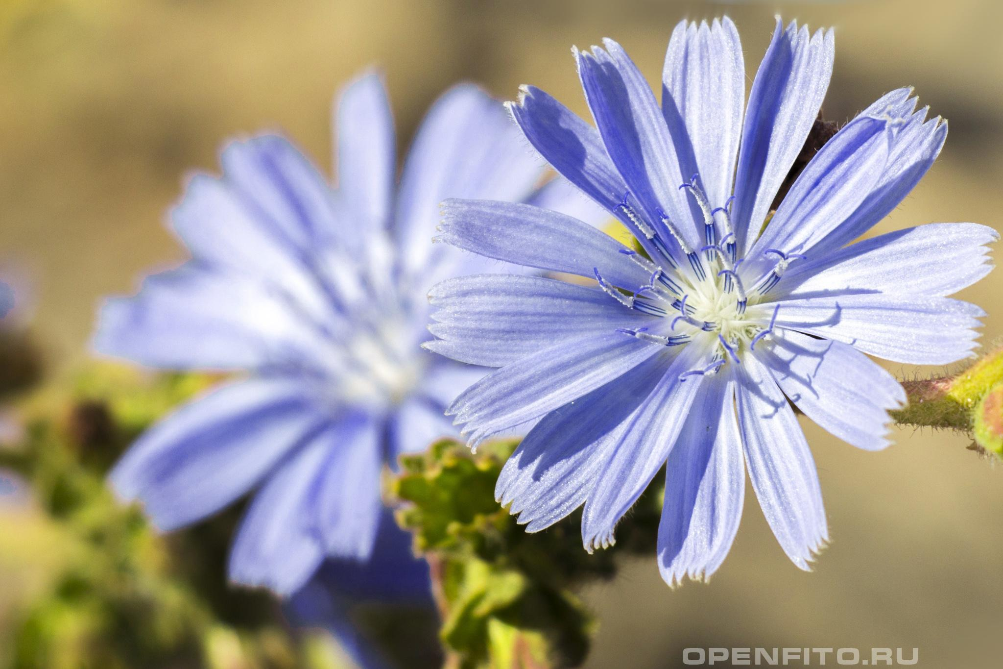 Цикорий обыкновенный фото цветков