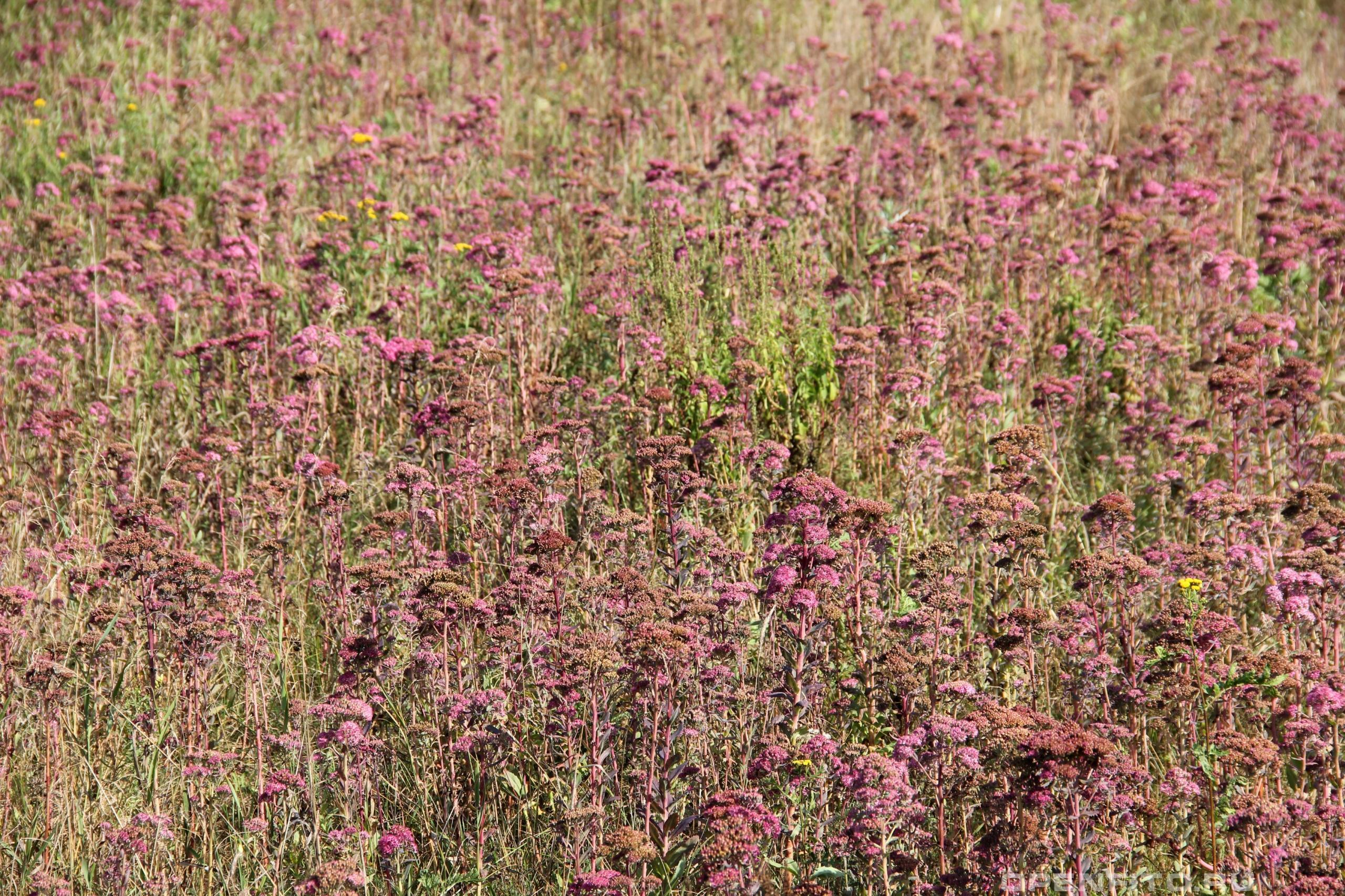 Очиток пурпурный заросли растения