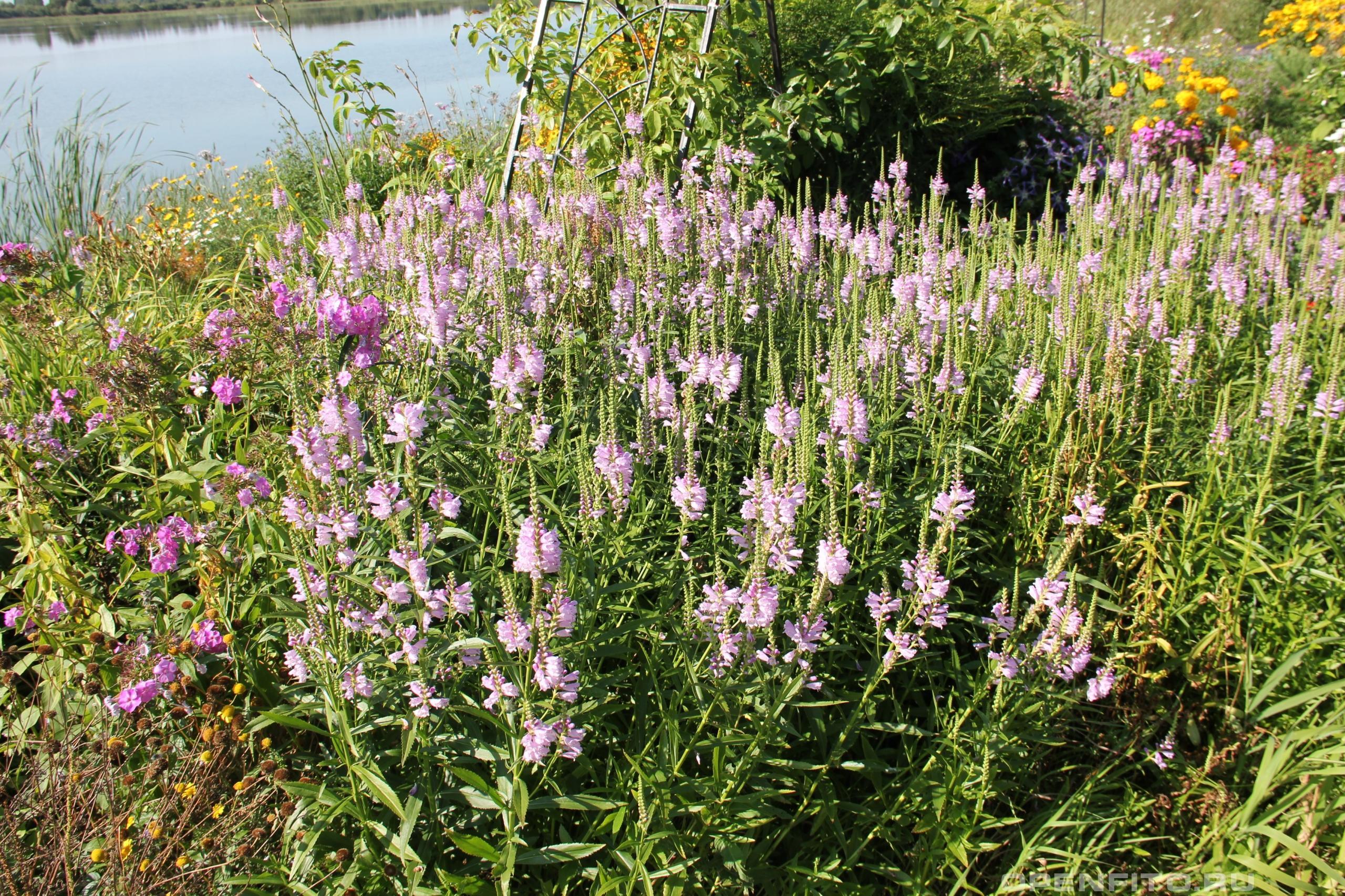 Физостегия виргинская садовый цветок