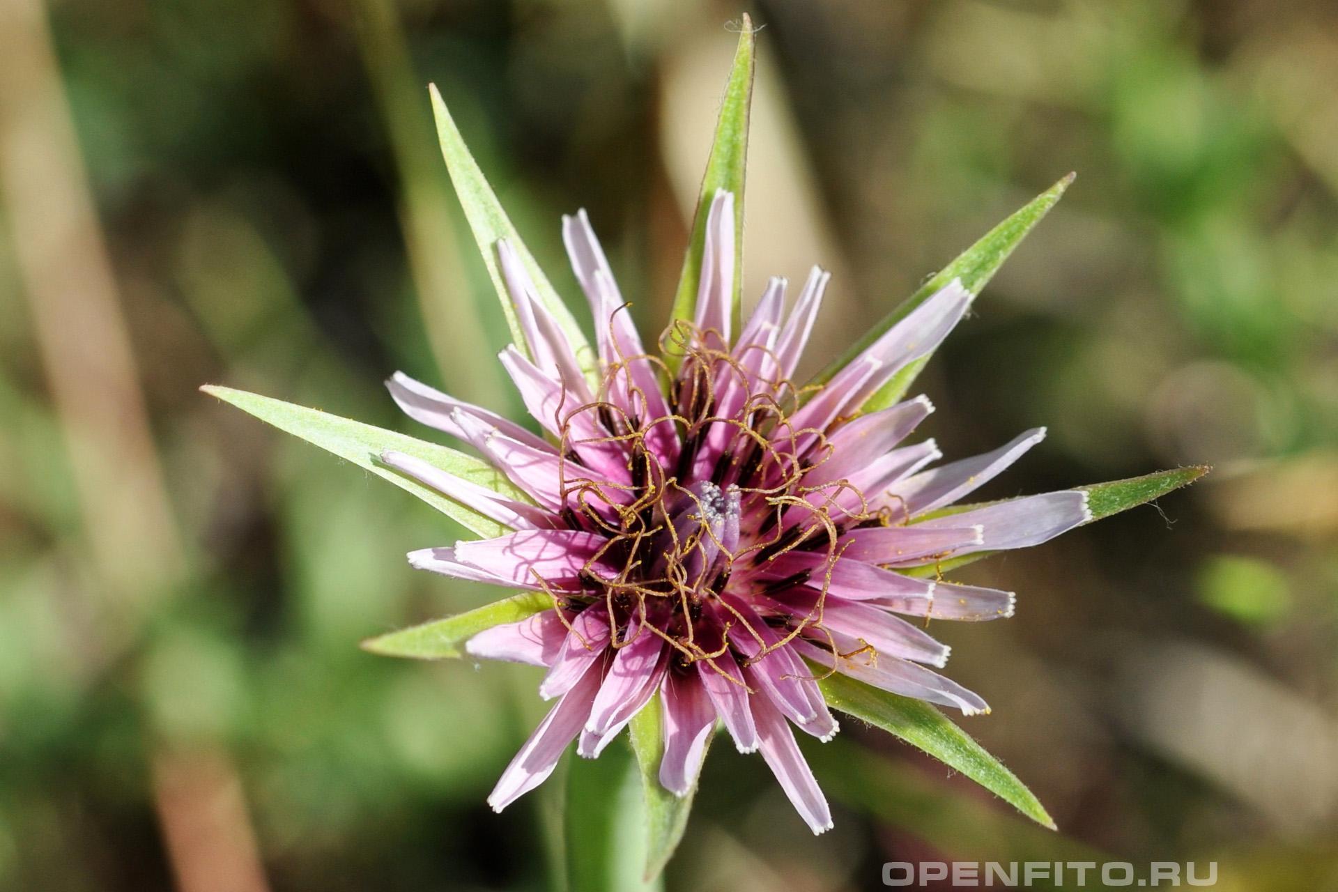 Козлобородник пореелистный фото молодого цветка