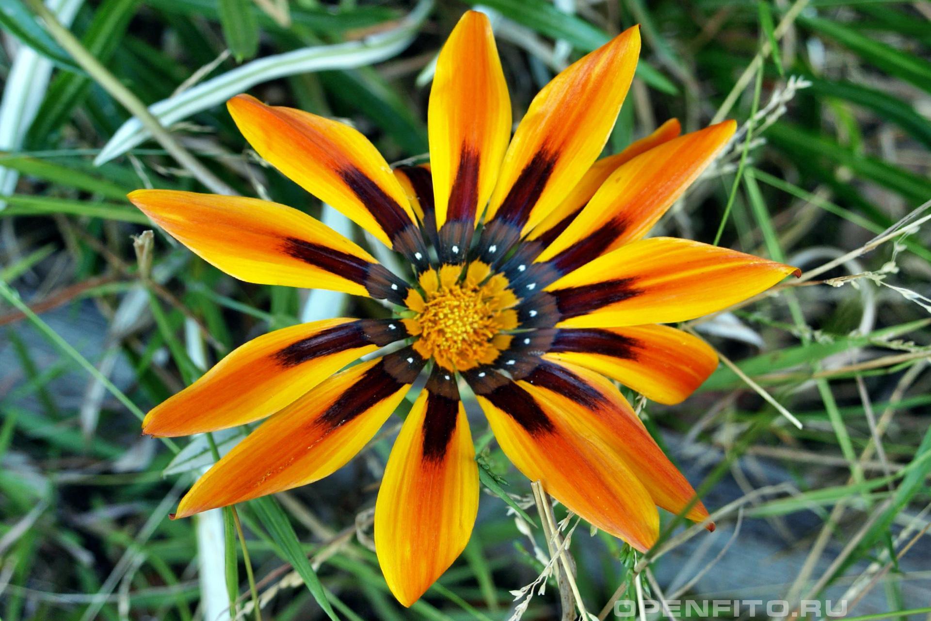 Газания гибридная садовый цветок