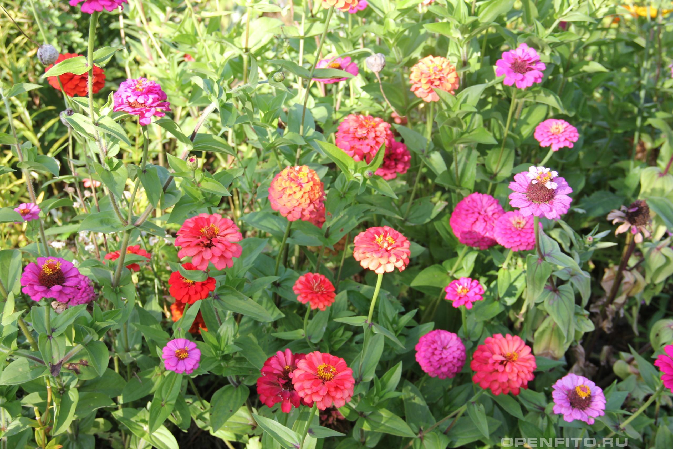 Циния изящная фото цветущих растений