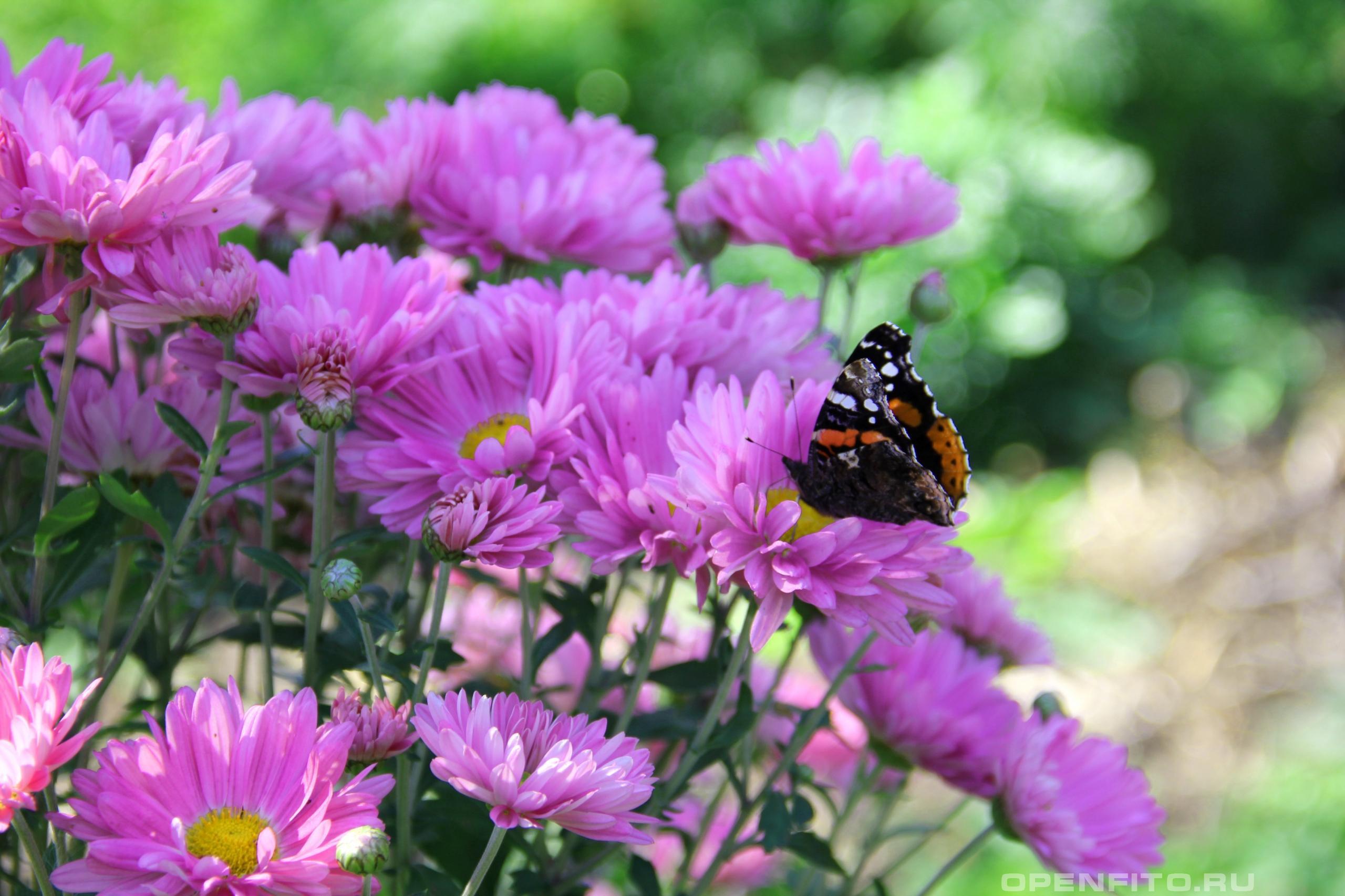 Хризантема индийская букет с бабочкой