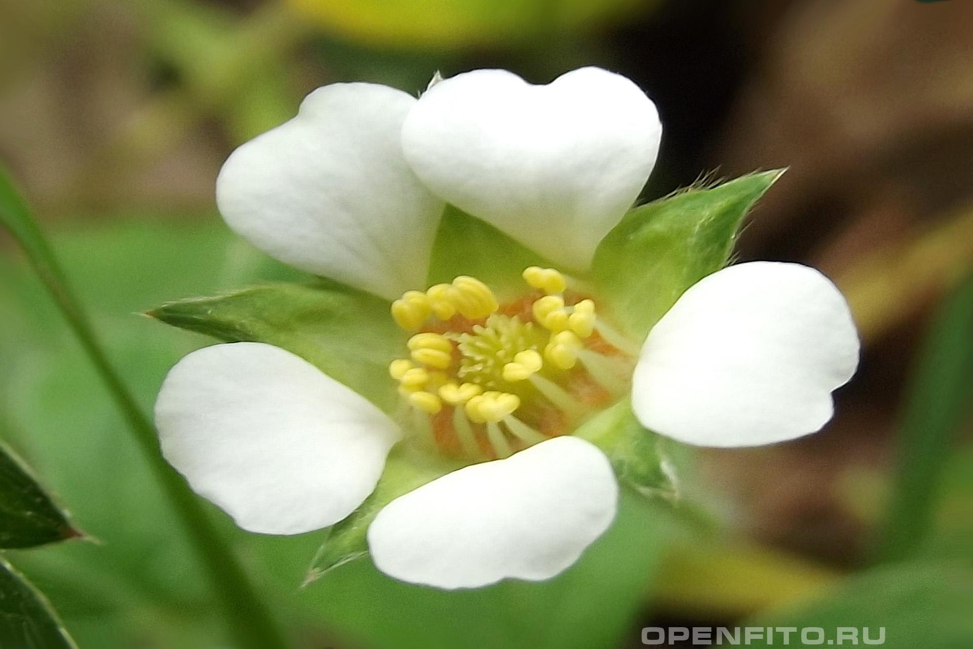 Лапчатка бесплодная маленький цветочек