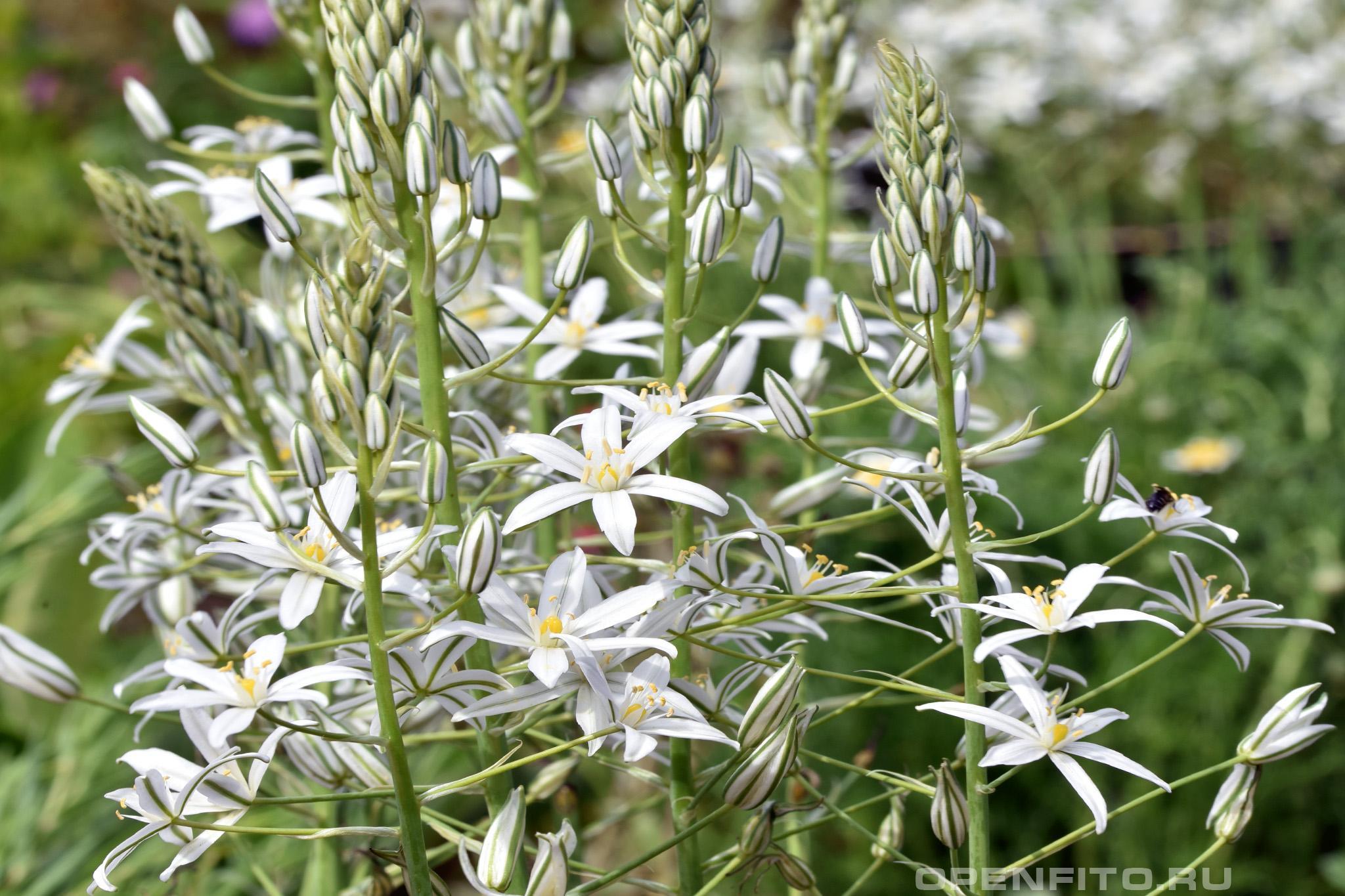 Птицемлечник понтийский соцветие садового цветка