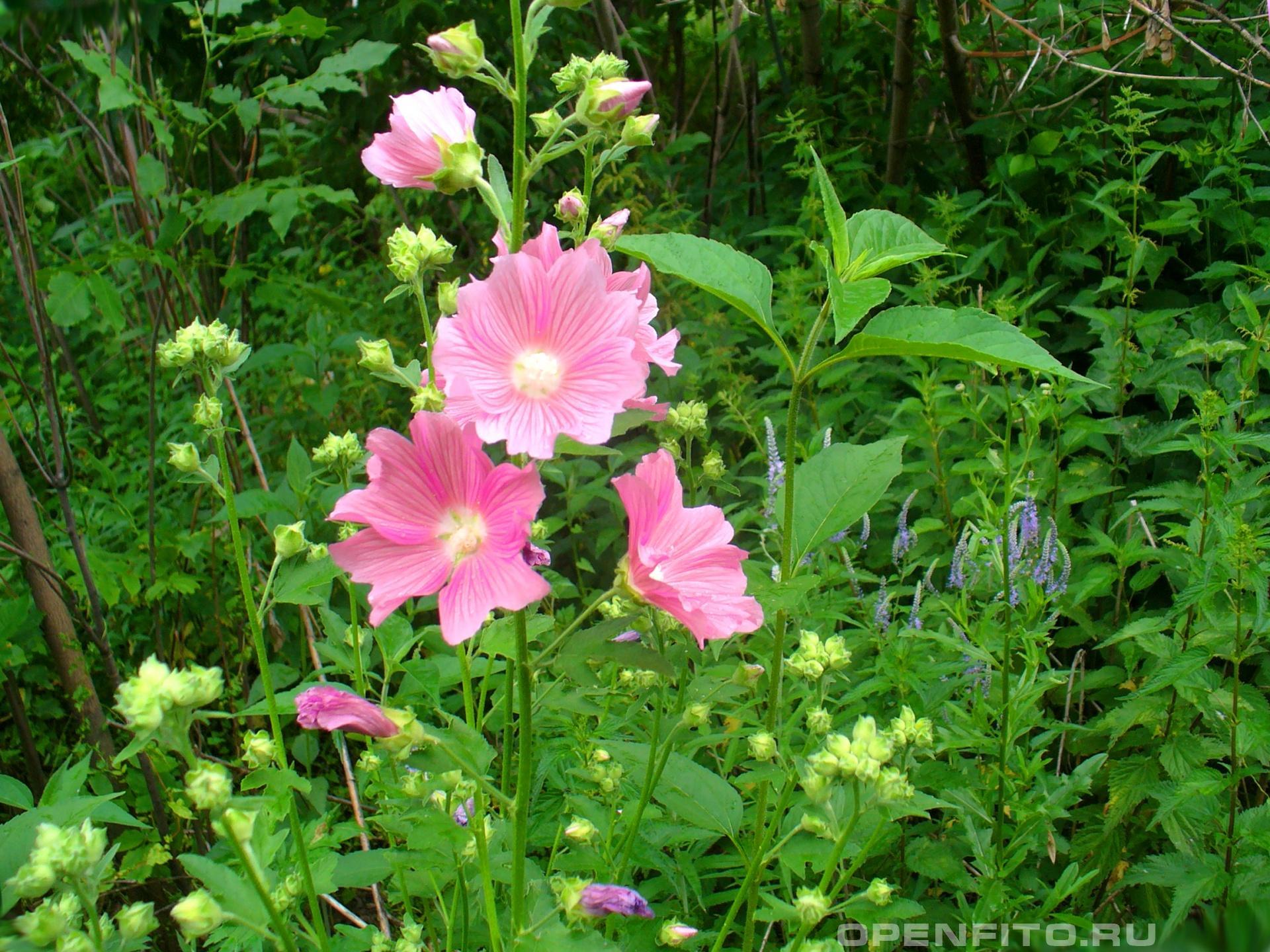 Шток-роза розовая <p>Садовый цветок</p>