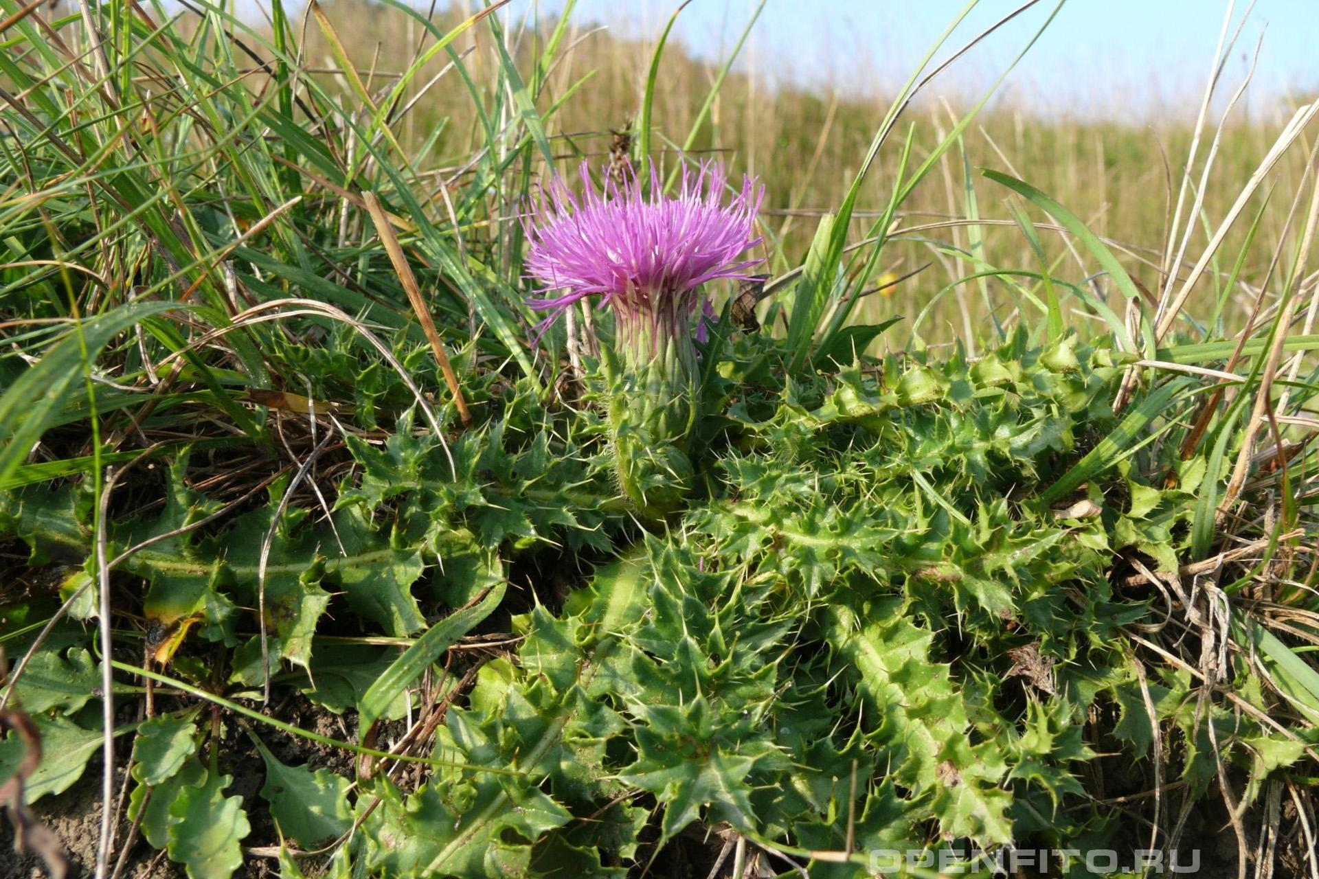 Бодяк съедобный безстебельная трава