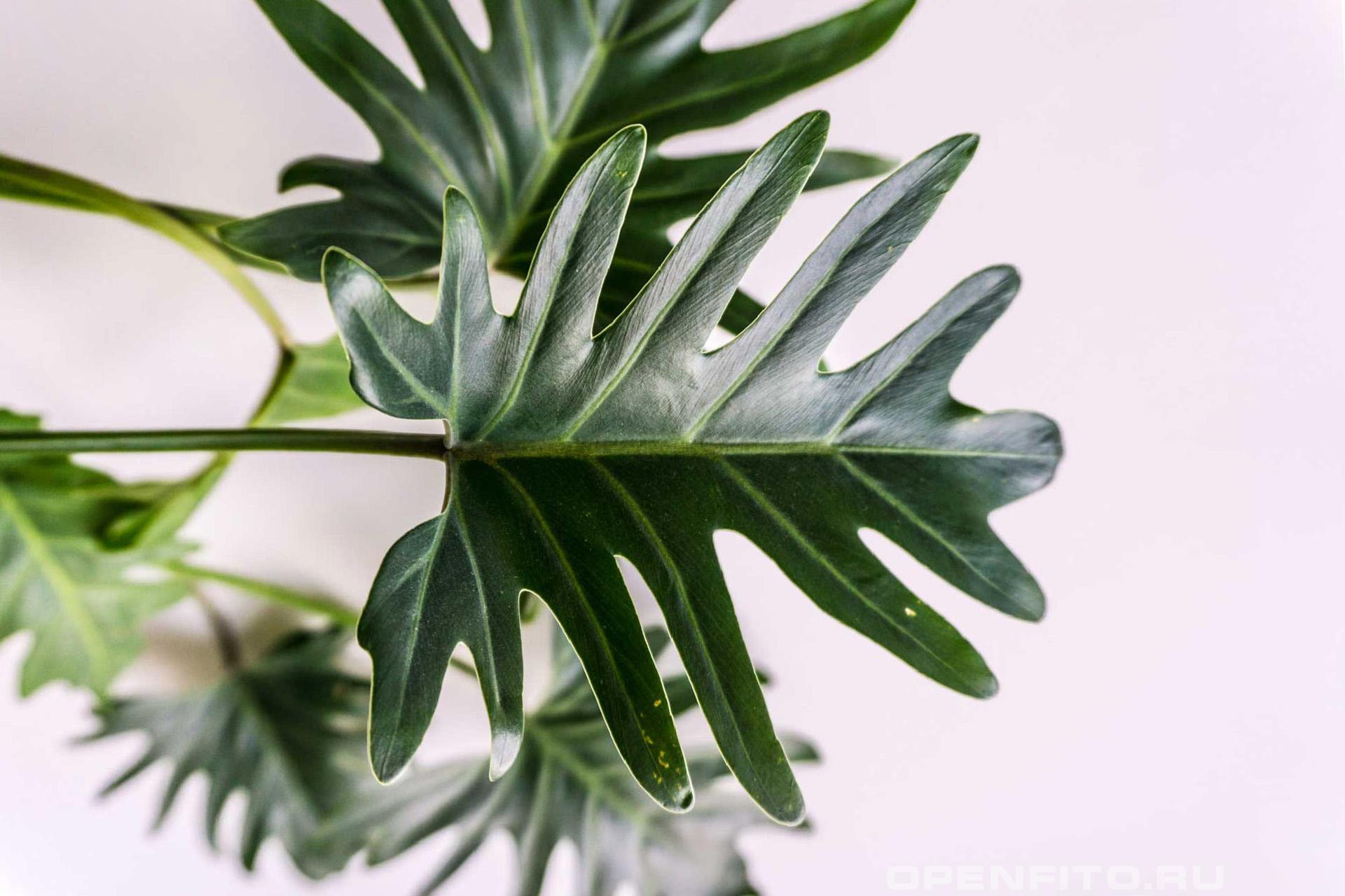 Филодендрон ксанаду лист, домашнее растение родом из латинской Америки